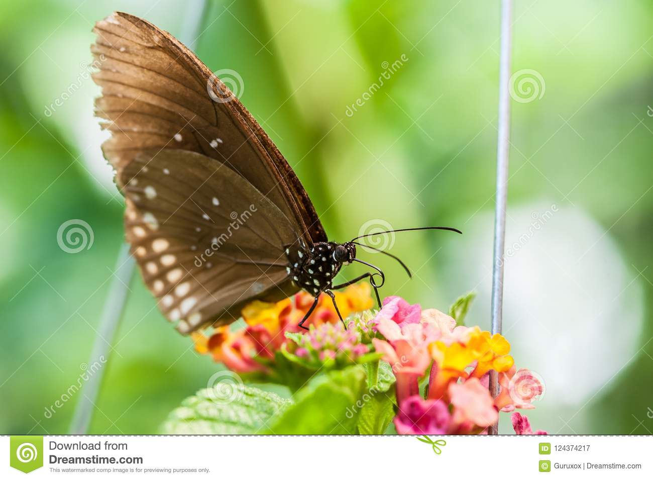 Beautiful brown butterfly sucks nectar from the flower