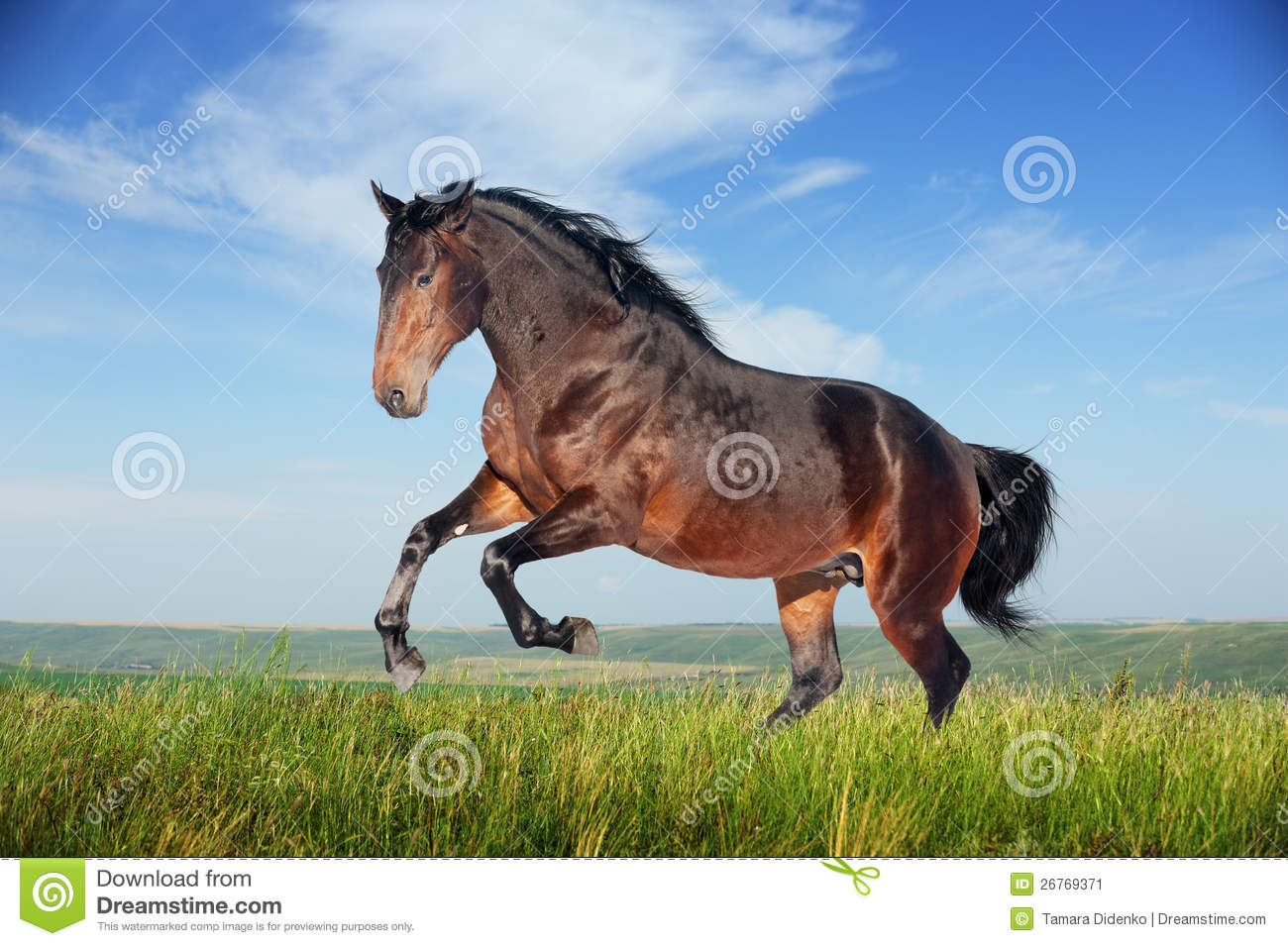 Beautiful Brown Horse Running Gallop Stock Image Image Of Friesian Color 26769371