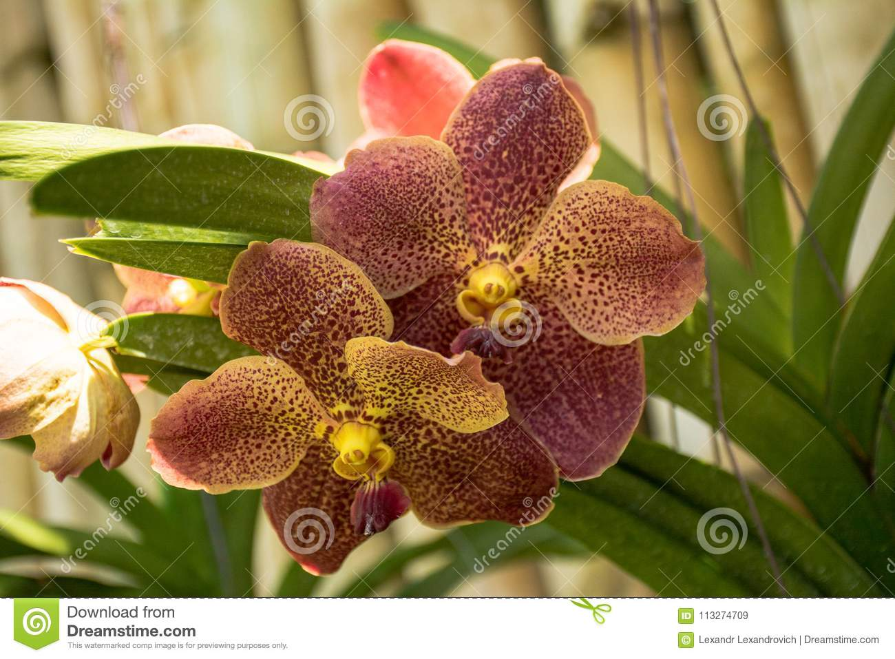 Beautiful Brown Orchid Flowers In The Tropical Garden Stock Image ...