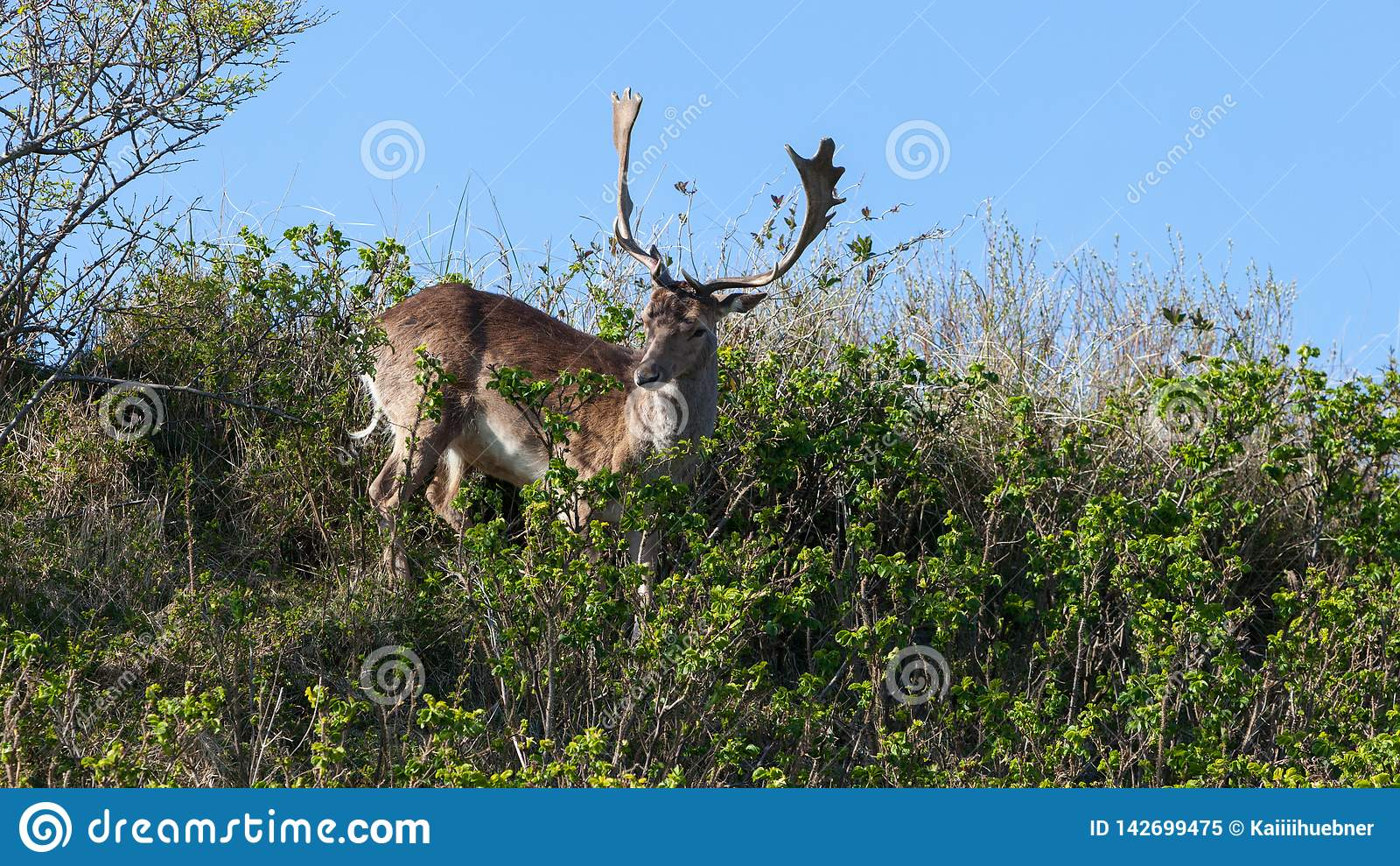 Beautiful brown spotted fallow deer standing between bushes on a dune.
