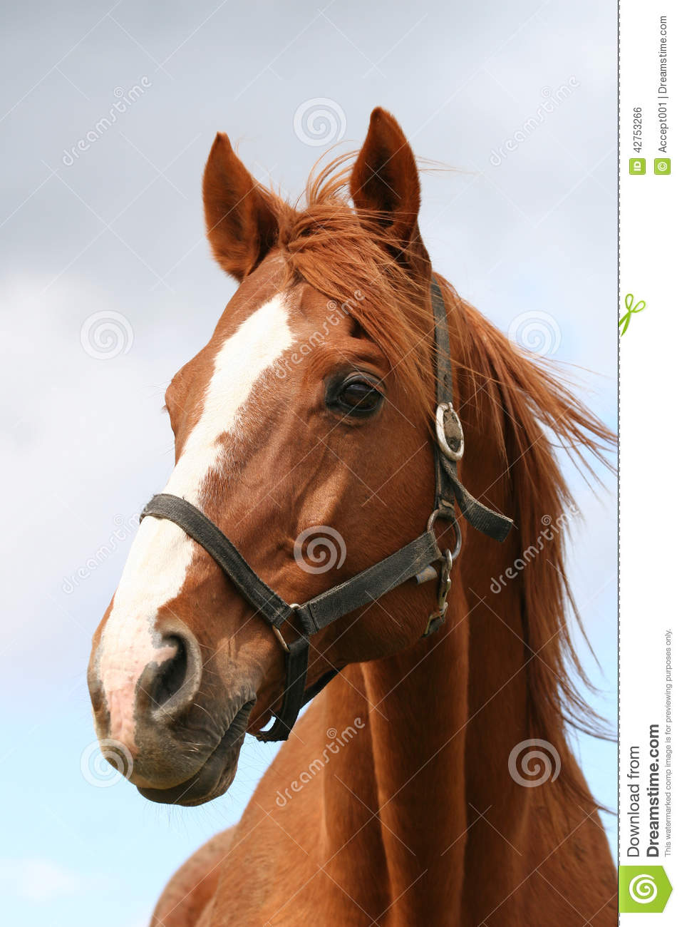 Beautiful Brown Thoroughbred Horse Head At Farm Stock Photo - Image ...