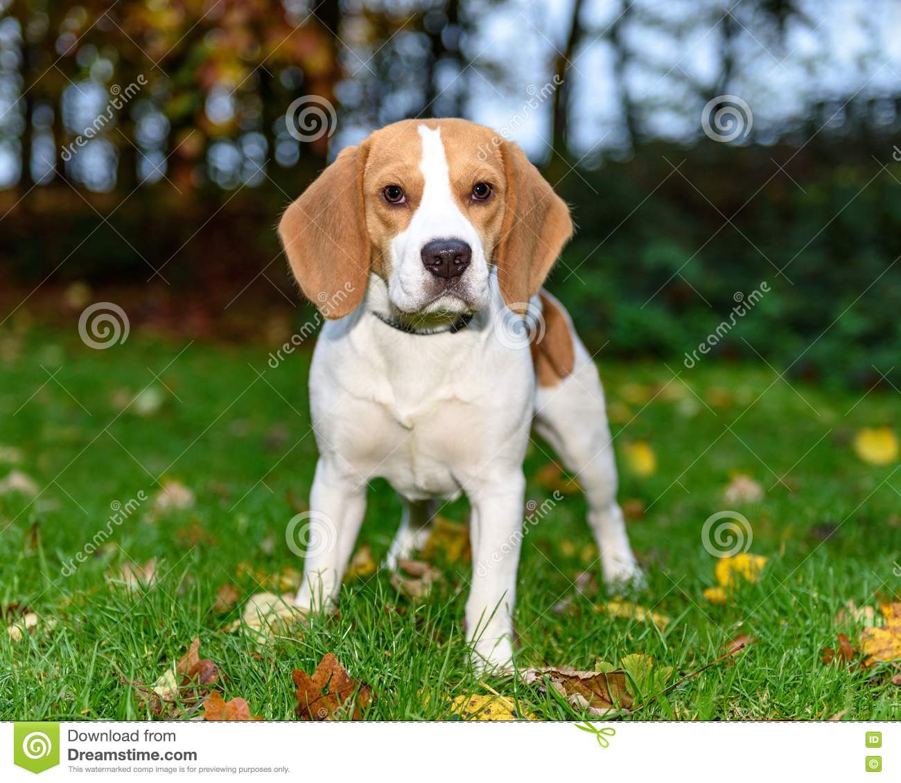 Beautiful Brown And White Beagle Dog Puppy Stock Image Image Of Lovely Hunter 77275375