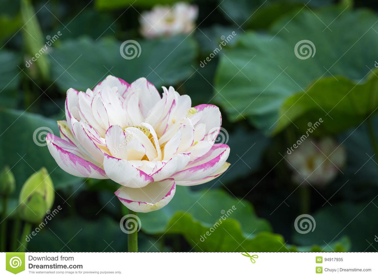 Beautiful buddha lotus flower closeup stock image image of buddha download beautiful buddha lotus flower closeup stock image image of buddha religion 94917935 izmirmasajfo
