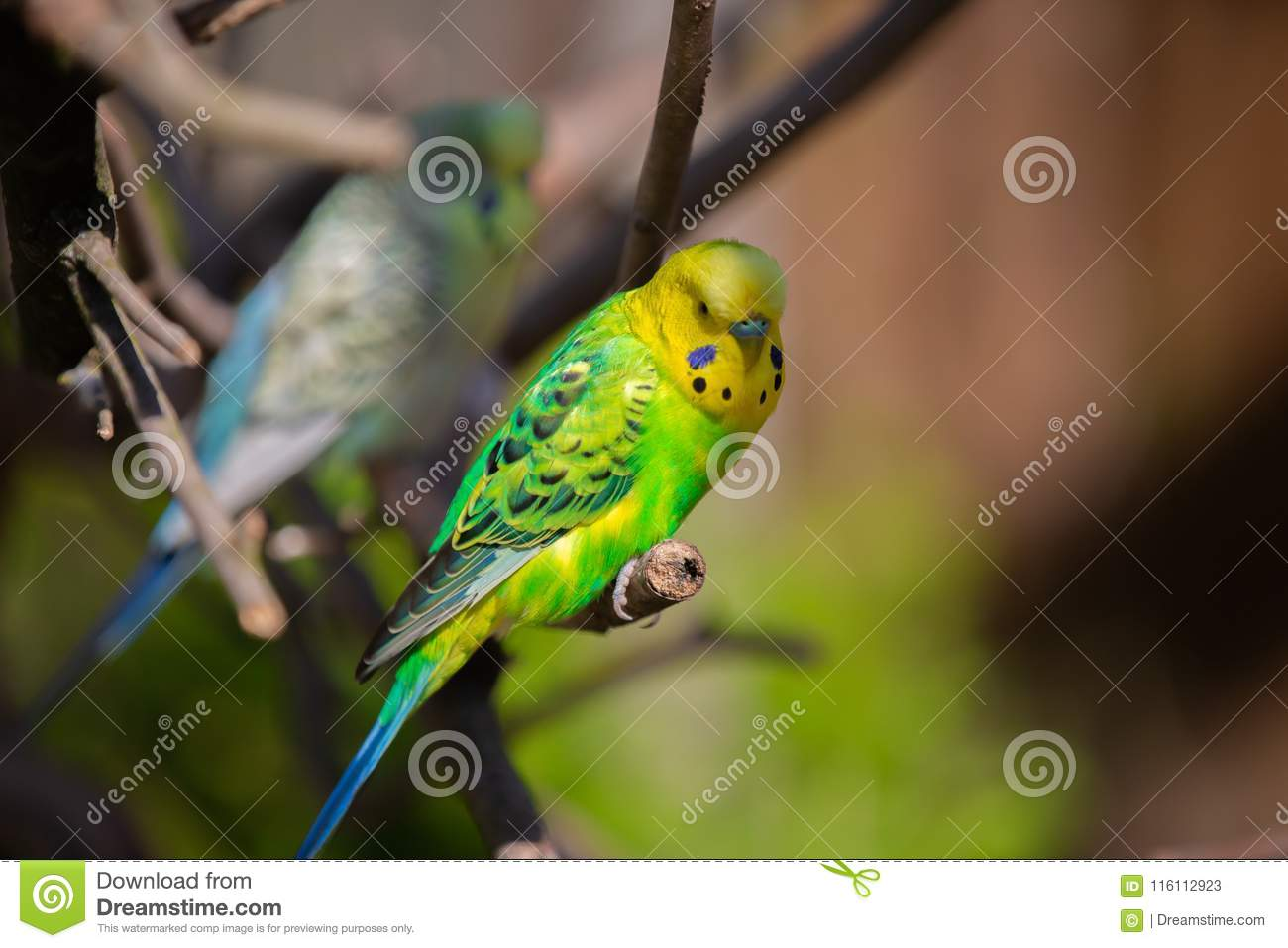 Beautiful Budgerigar Sitting On A Tree Stock Image Image Of Group