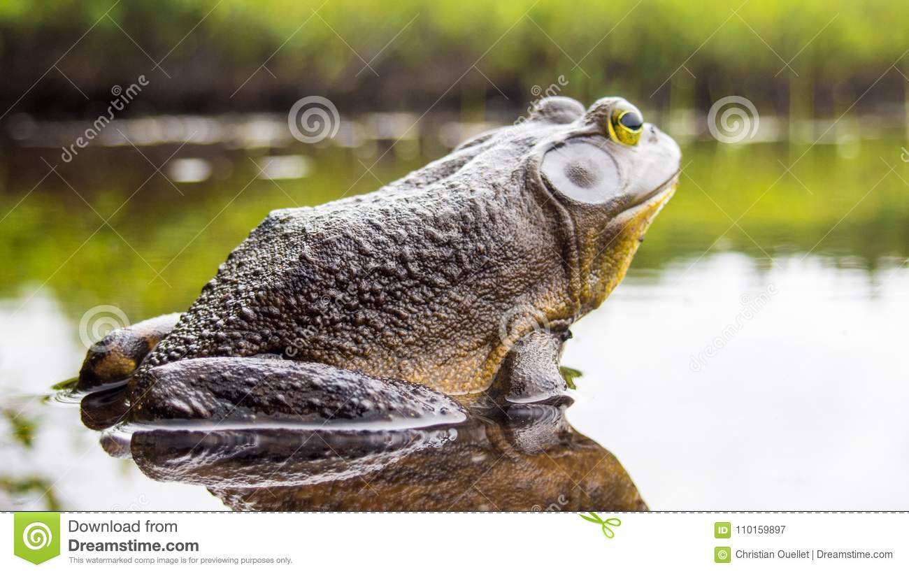 Bull frog who relaxes on the edge of a lake