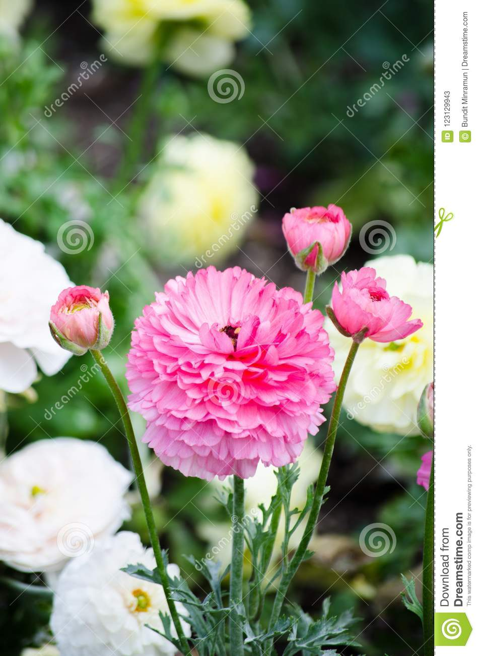 Beautiful Bunch Lovely Pink Ranunculus Or Buttercup Flowers In A