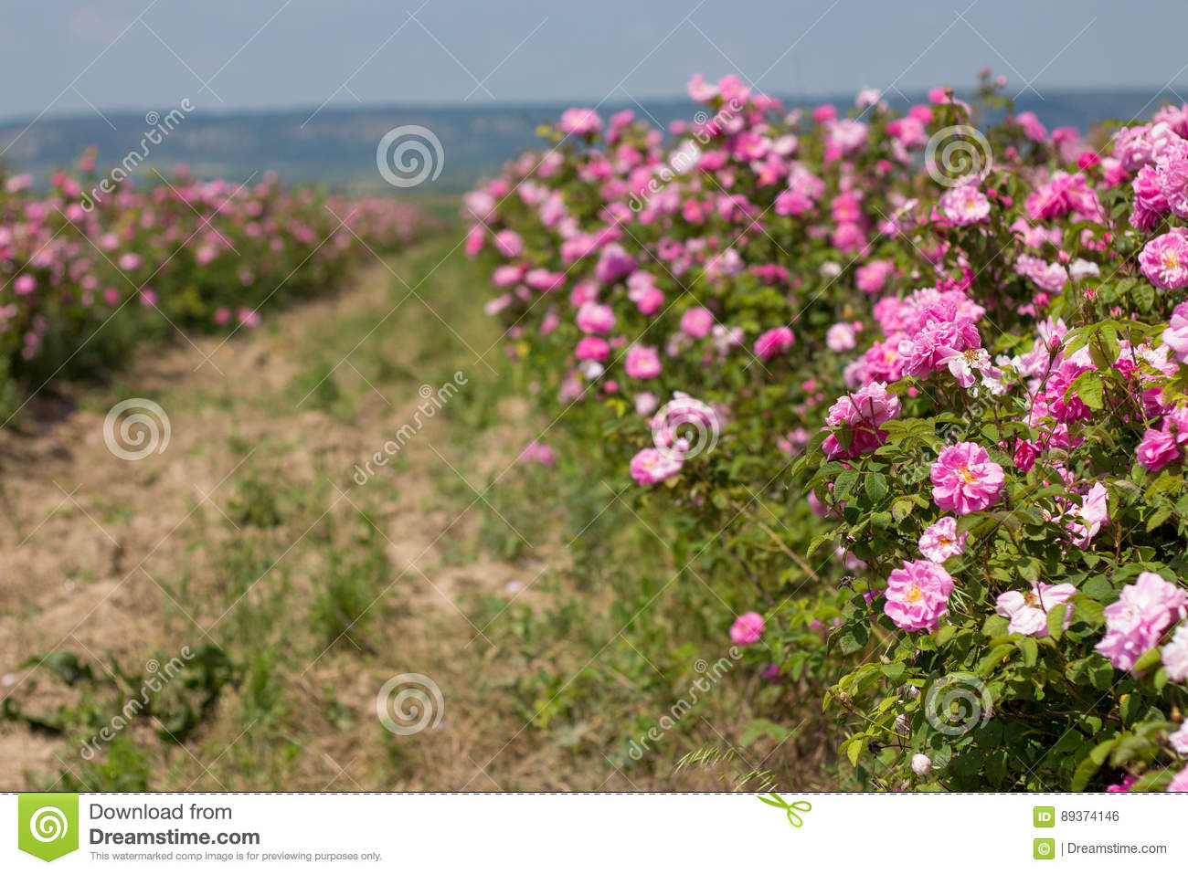 Roses In Garden: Beautiful Bush Of Pink Roses In A Spring Garden. Flower