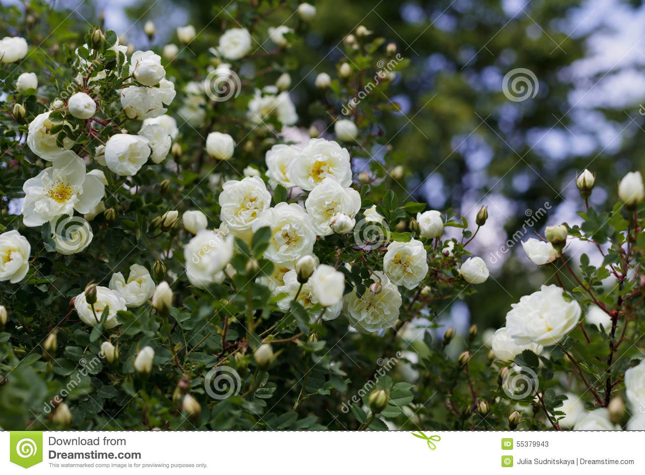 Beautiful Bush With White Flowers Of Wild English Rose In The Garden