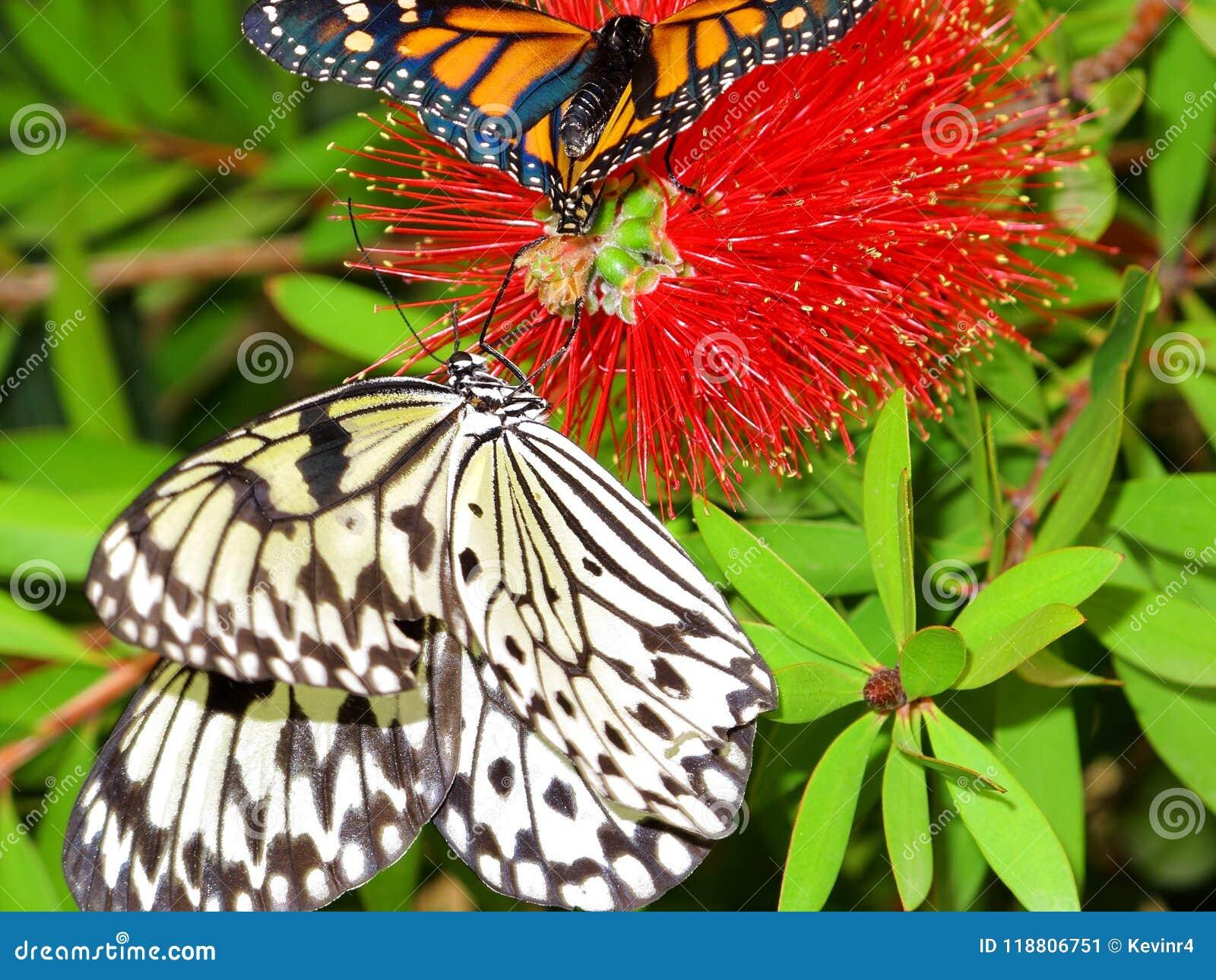 The Beautiful Butterflies Idea Leuconoe Danaus Resting On Pretty