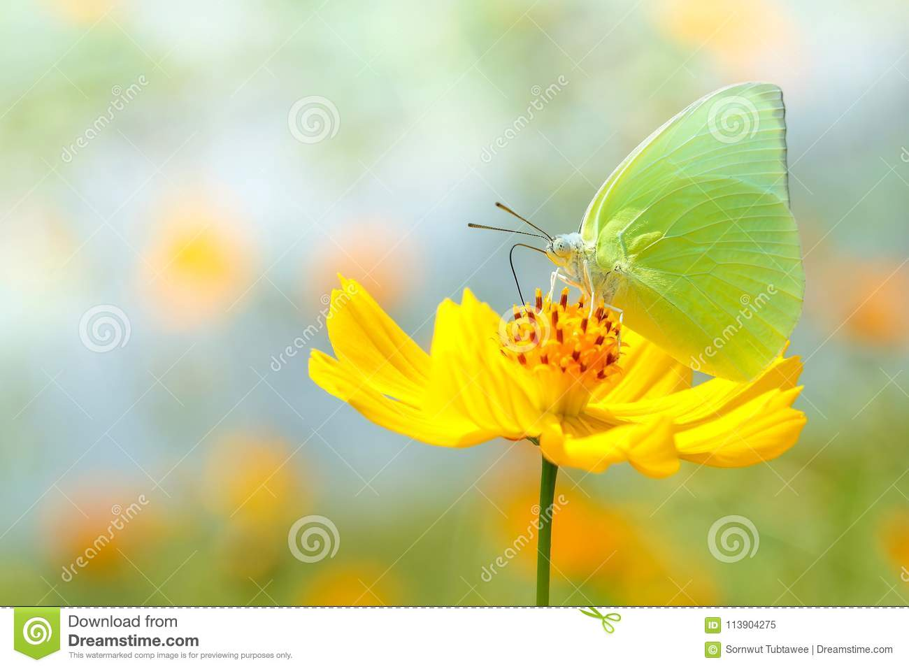 Beautiful butterfly on yellow flower Background blur.