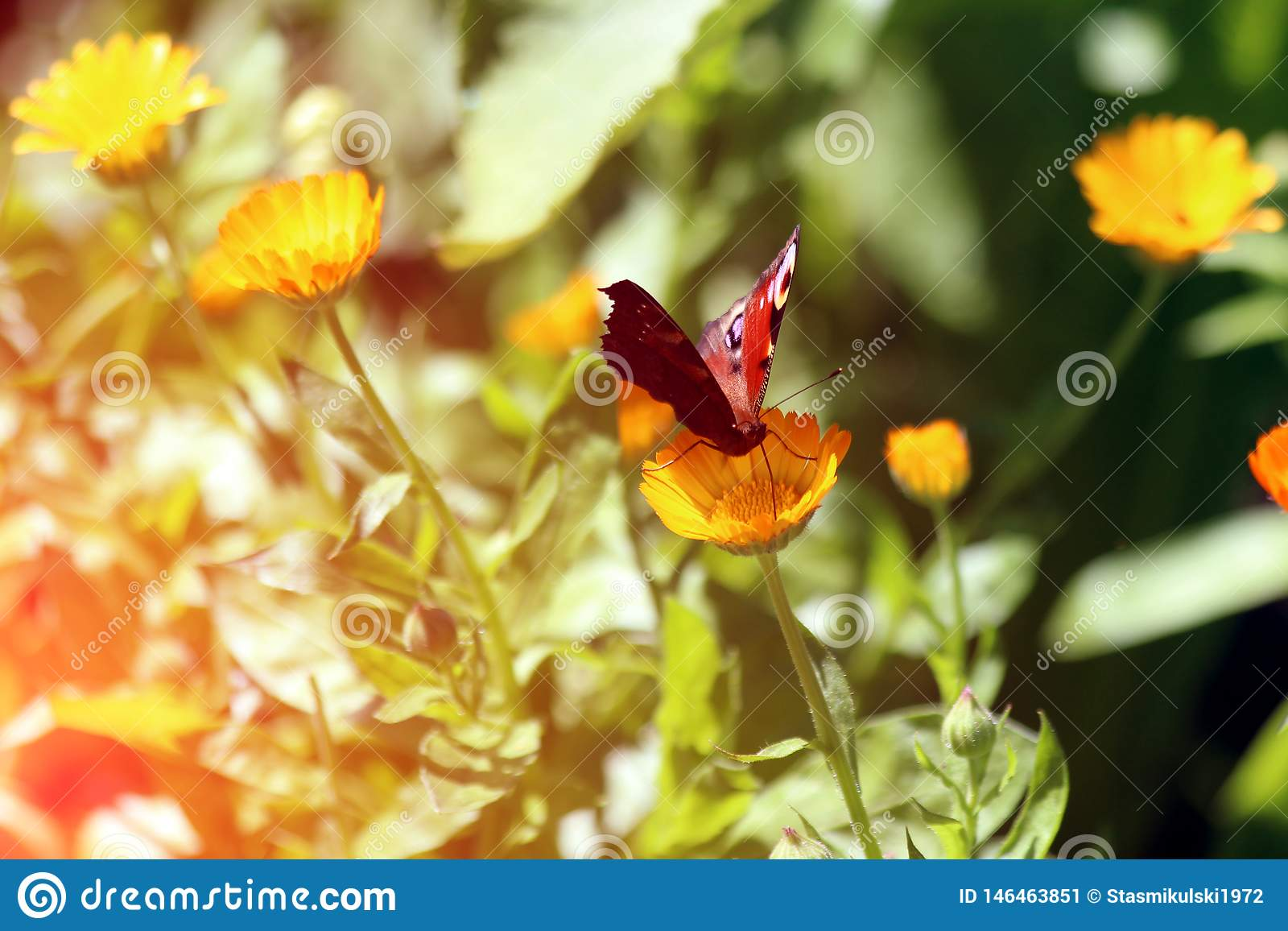 Beautiful butterfly sits on a marigolds Calendula in close up. Medicine flowers