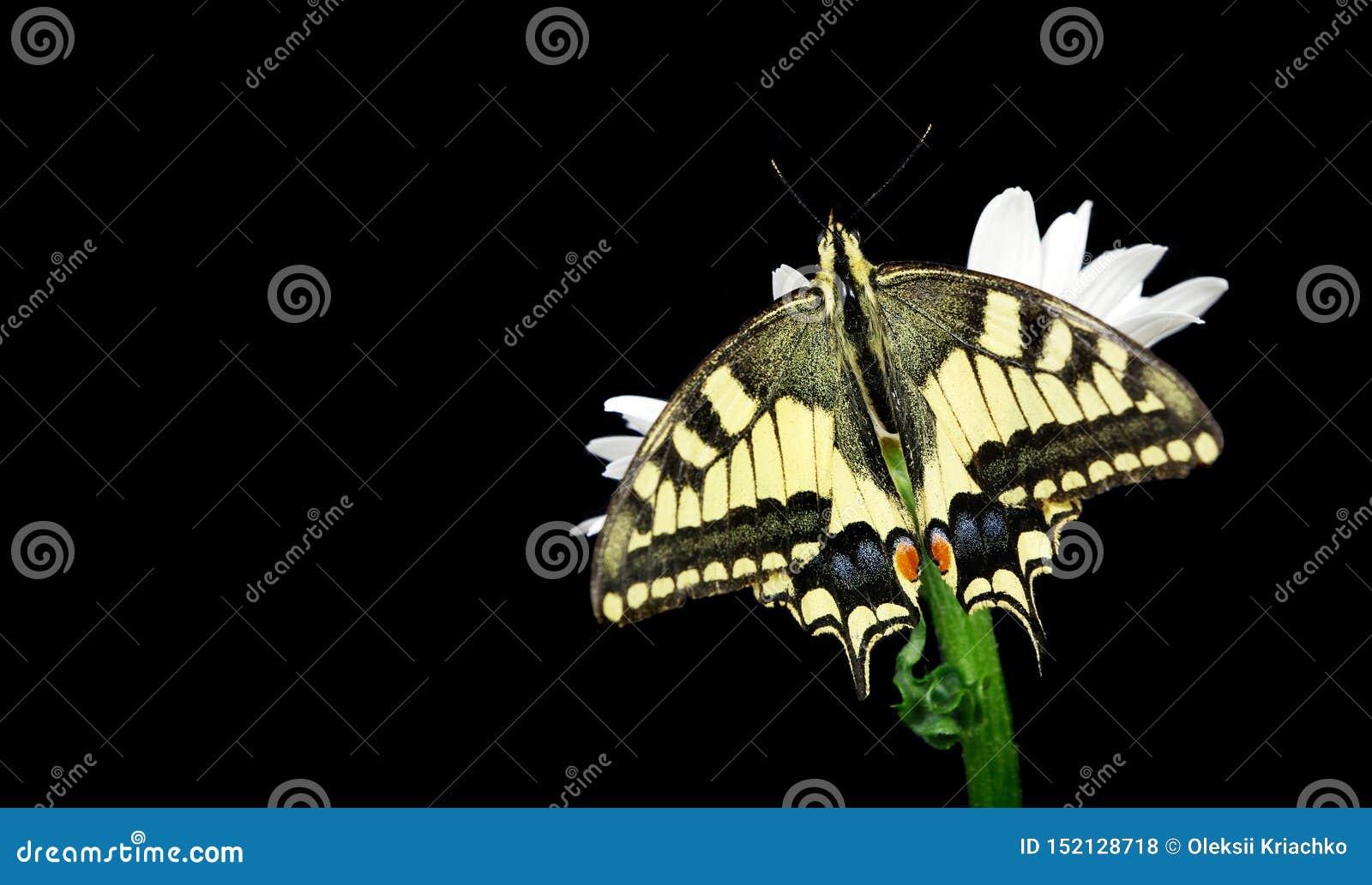 Beautiful butterfly sitting on a flower isolated on black. Colorful butterfly sitting on a daisy. Swallowtail butterfly, Papilio m
