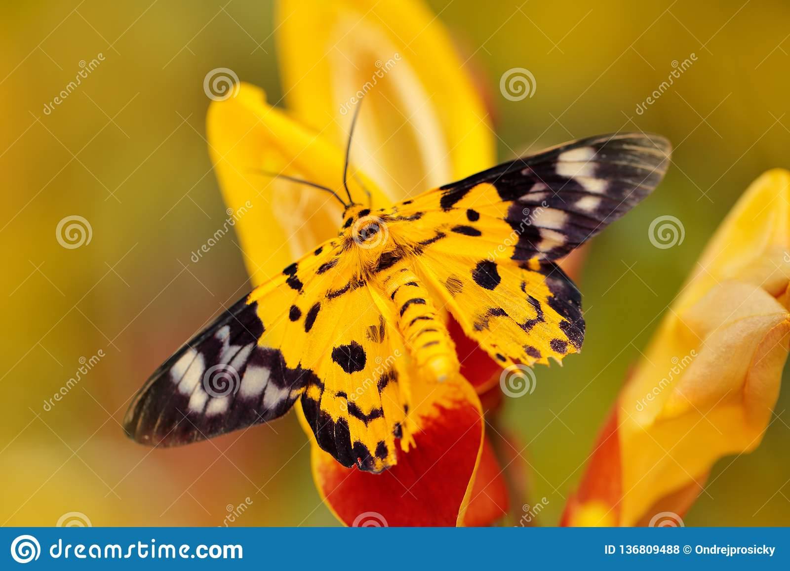Beautiful butterfly sitting on the red yellow flower. Yellow insect in the nature green forest habitat, south of Asia. Moth in the