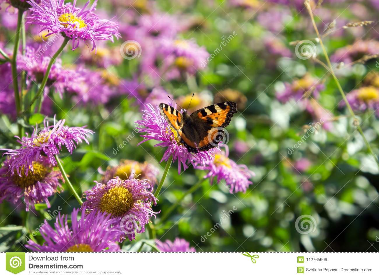 Beautiful Butterfly Urticaria On The Pink Flower Of Perennial Asters