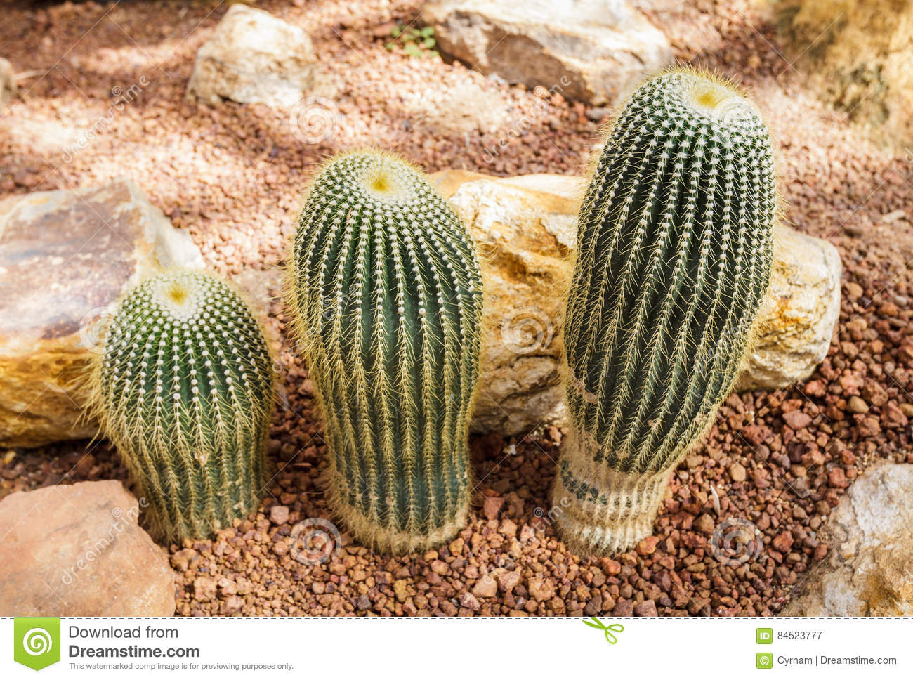 Beautiful cactus collection in botanical rocky garden, phallic shaped, decor and background