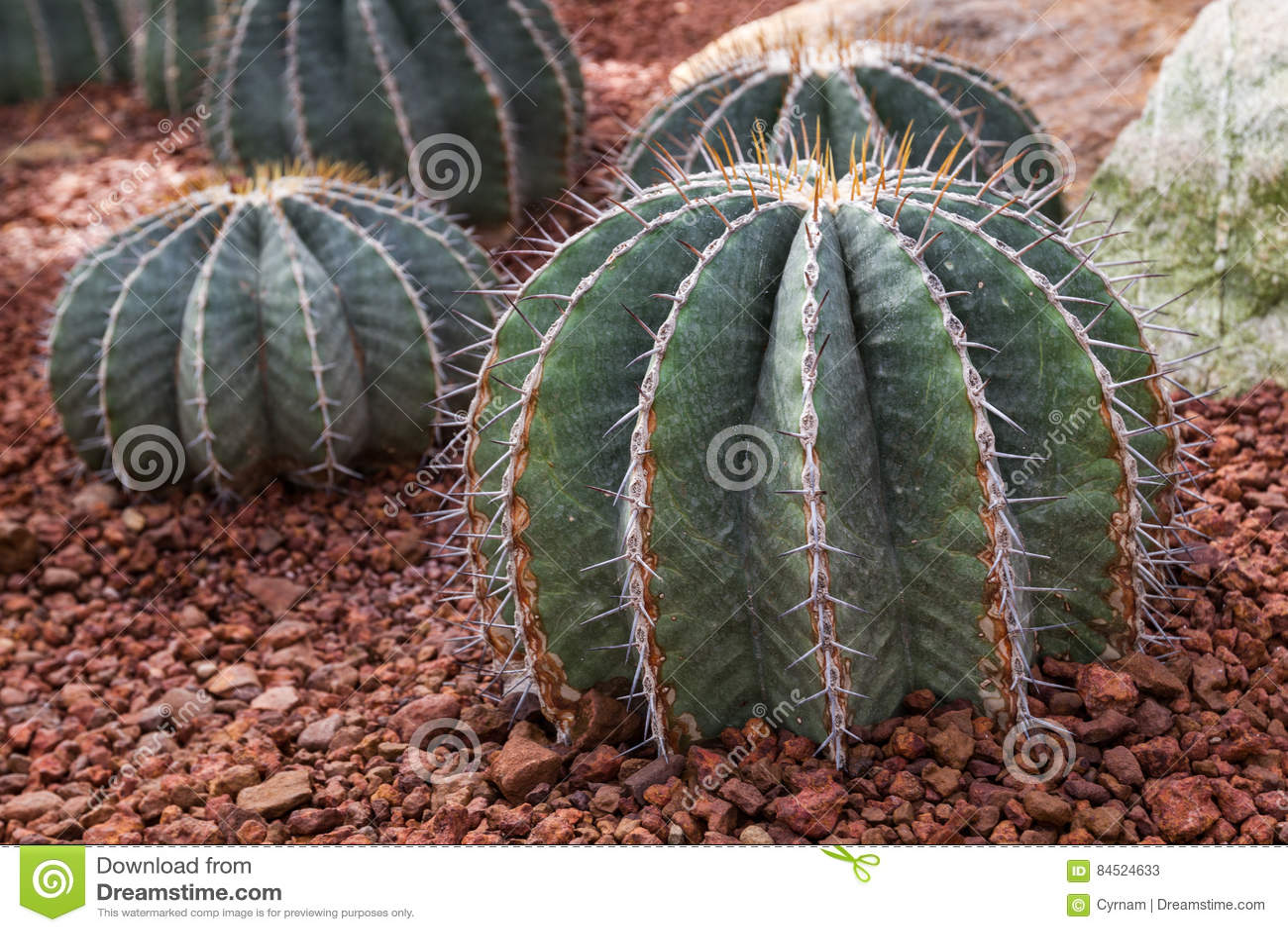 Beautiful cactus echinocactus in botanical garden