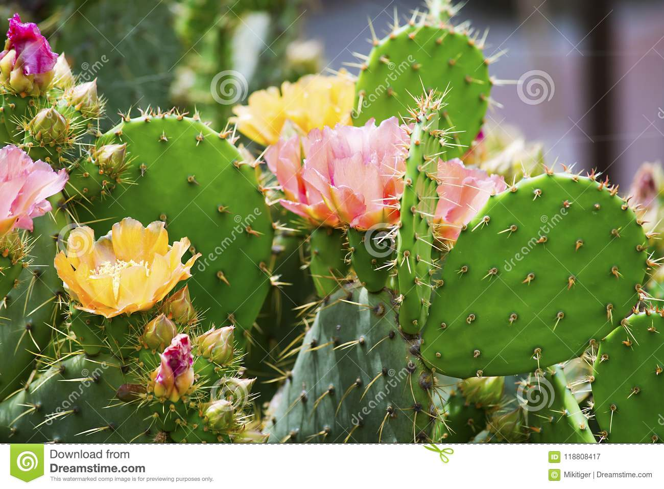 Beautiful Cactus Flower In The Garden Stock Image Image Of Flower