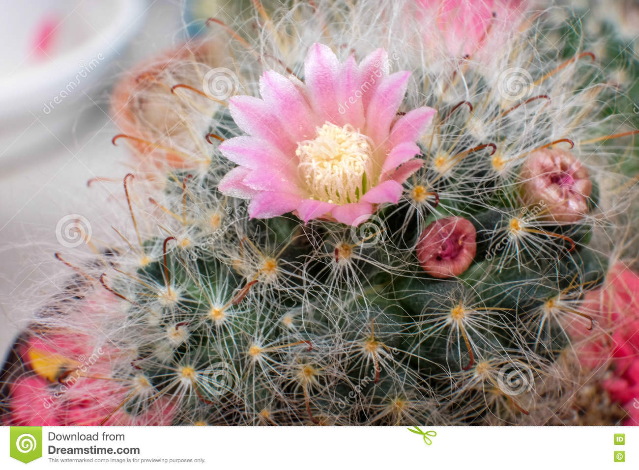 Beautiful Cactus Flower With Selective Focus Stock Photo Image Of
