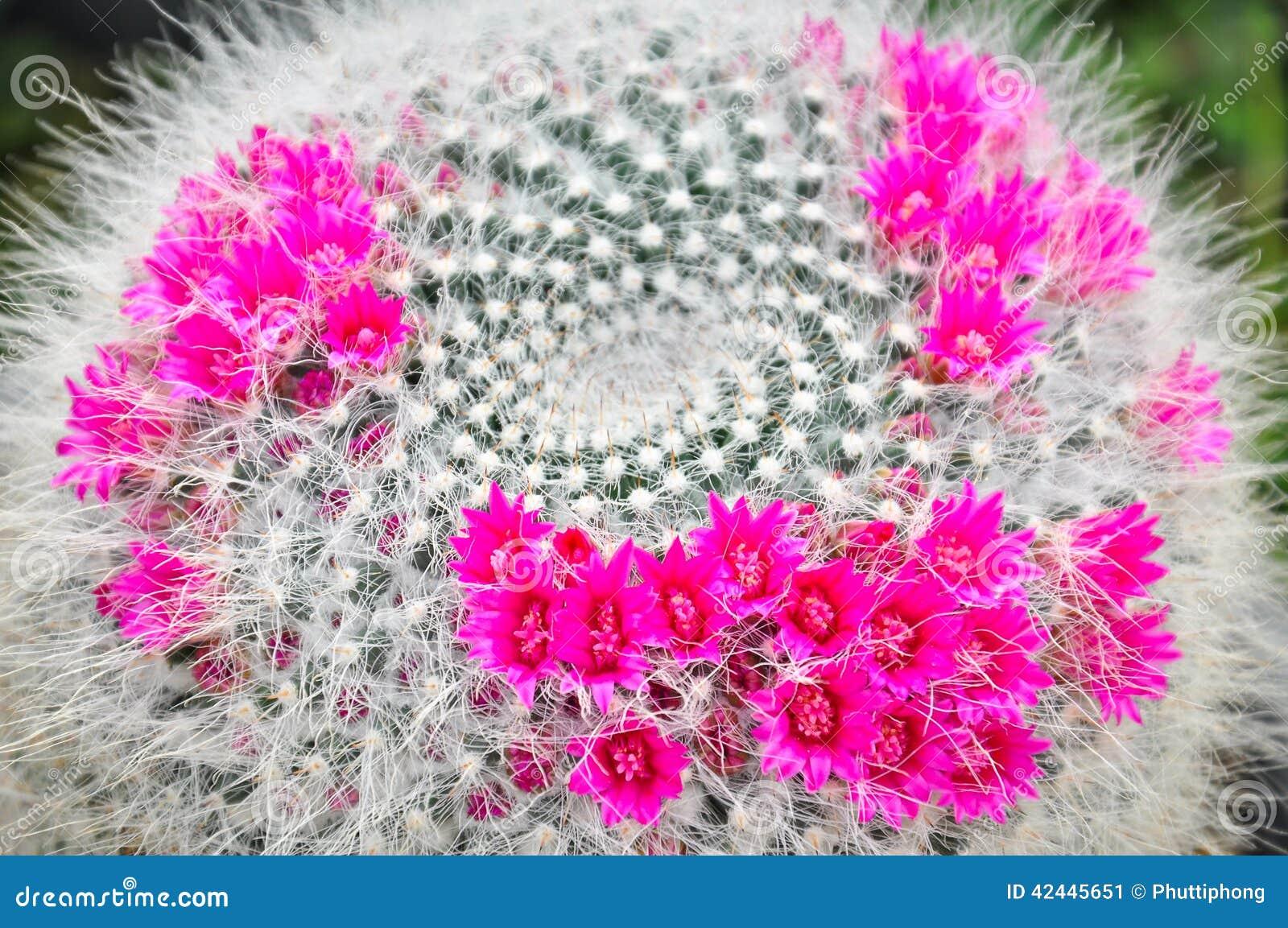 Beautiful Cactus Flowers Stock Image Image Of Desert 42445651