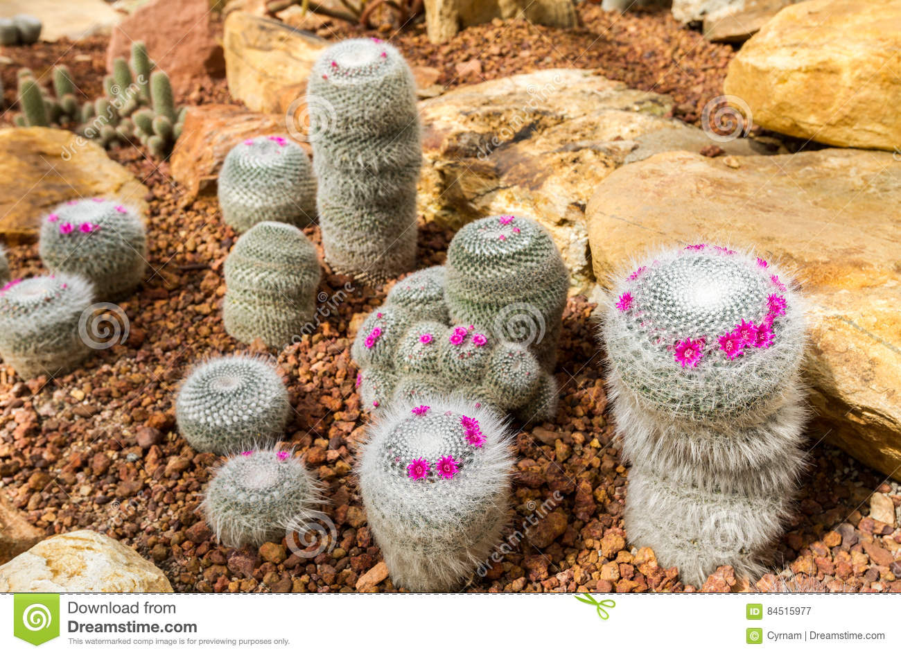 Beautiful cactus with little purple flower in rock garden, background and texture