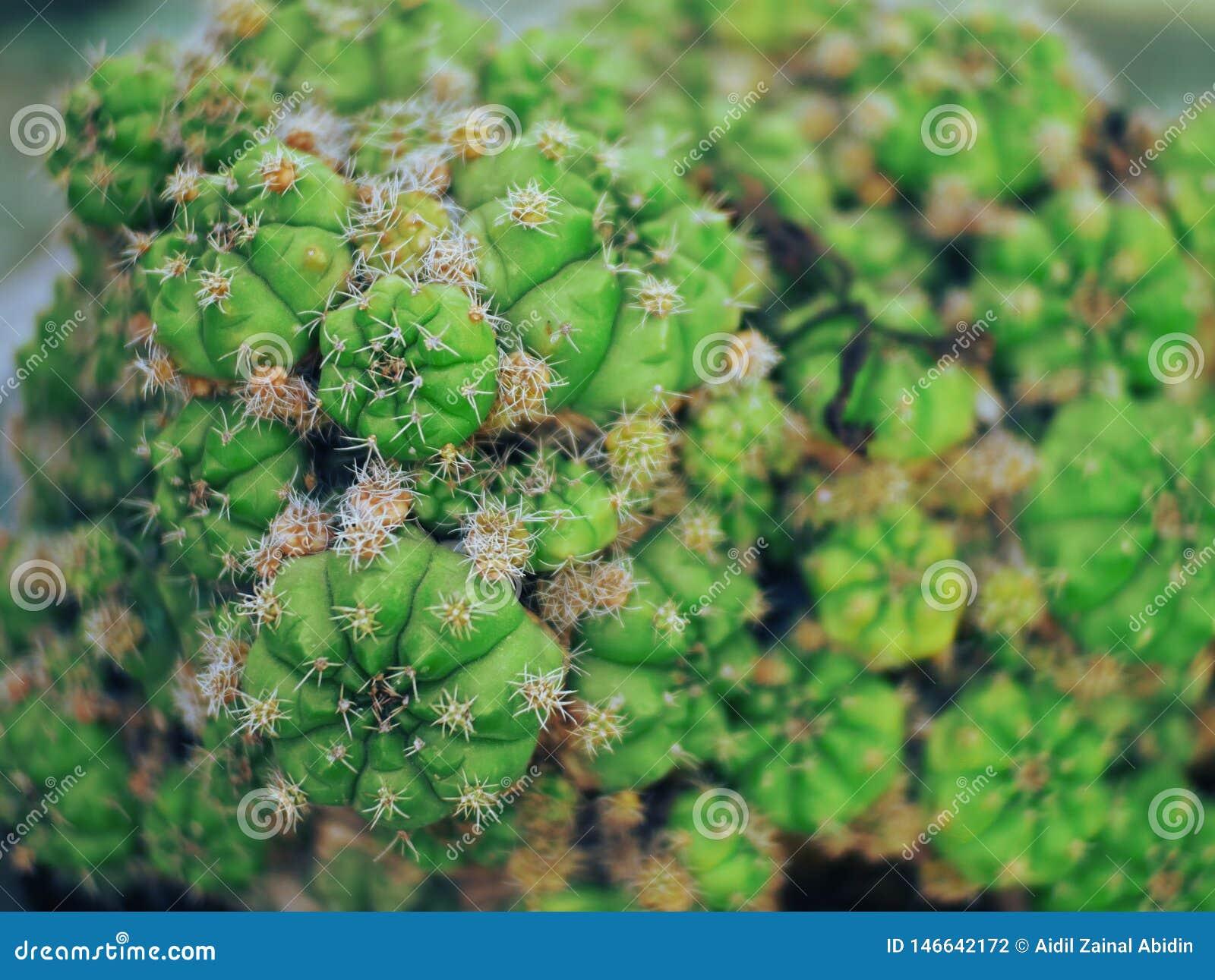 Beautiful Cactus from Palu City of Indonesia