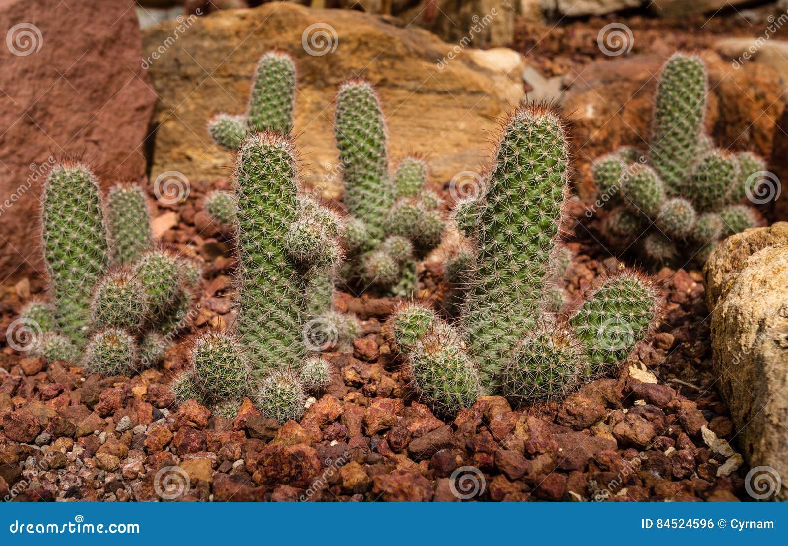 Beautiful cactus with phallic shape in rocky garden