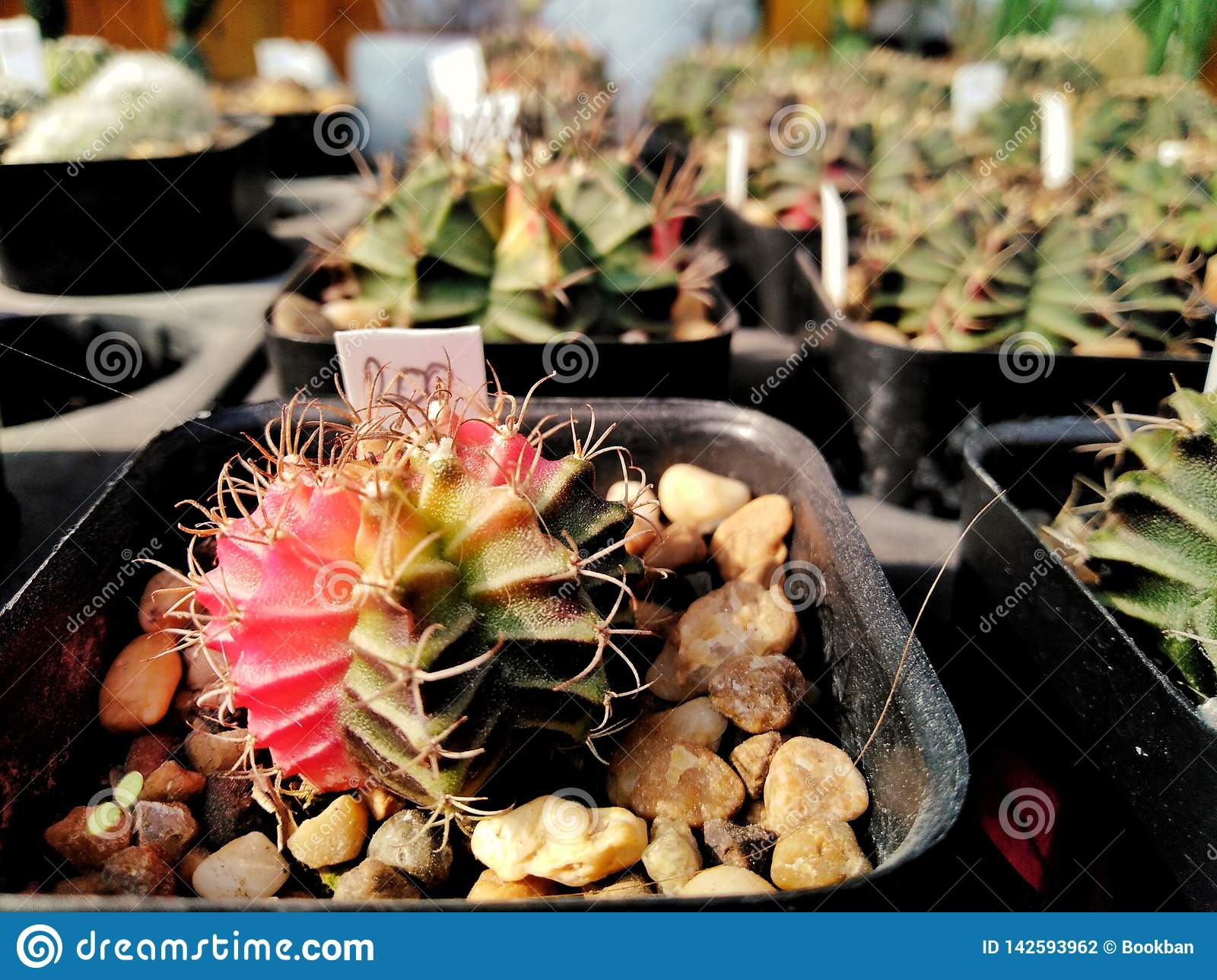 Beautiful cactus In stone pots Price tag is 200 baht.