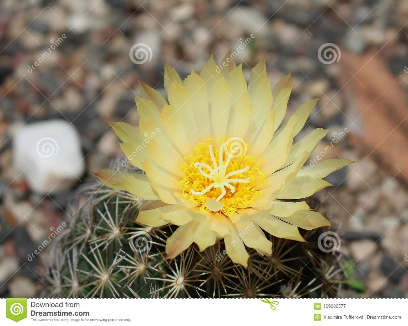 Beautiful Cactus With Yellow Flower Beauty Of Cacti Stock Image