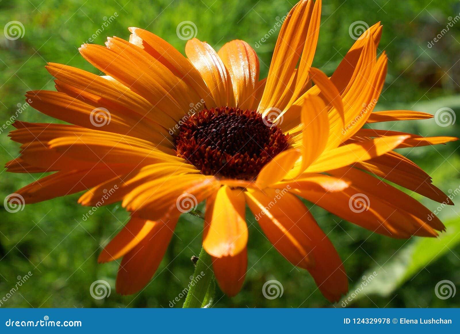 5b30de0c9 Beautiful calendula flower bright orange, ornamental plant, green  background.