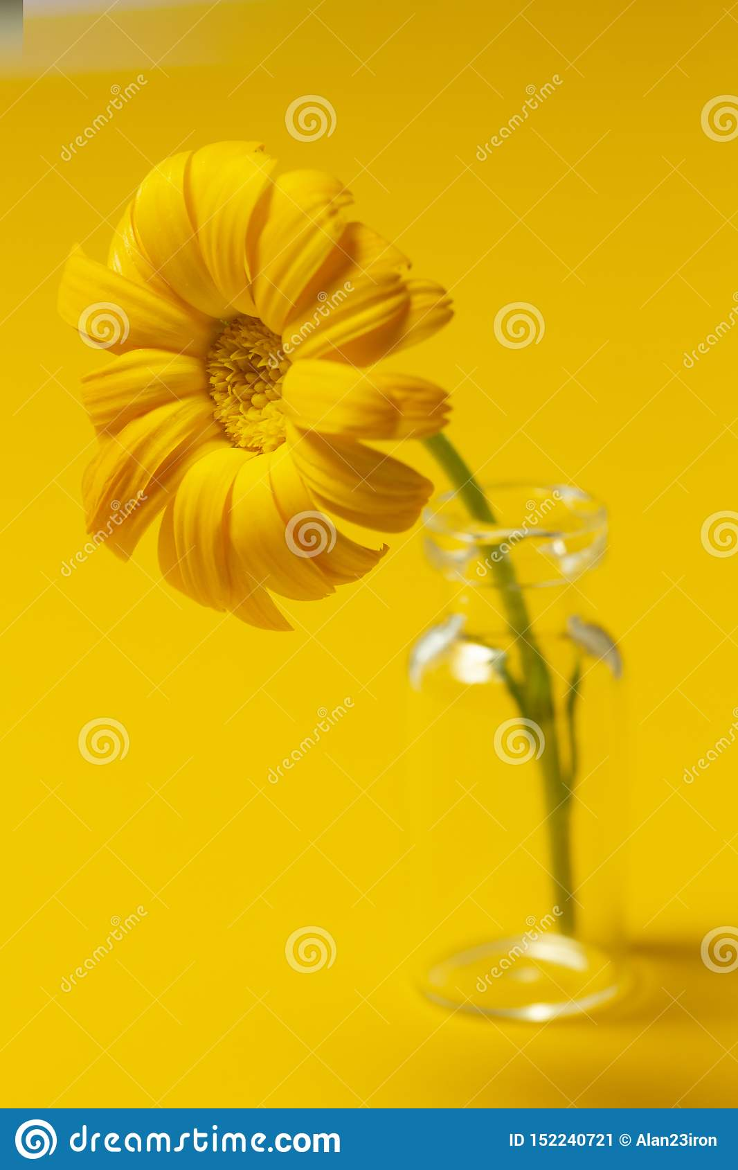 Beautiful calendula flower in glass jar on an yellow background . alternative medicine concept. minimalism style
