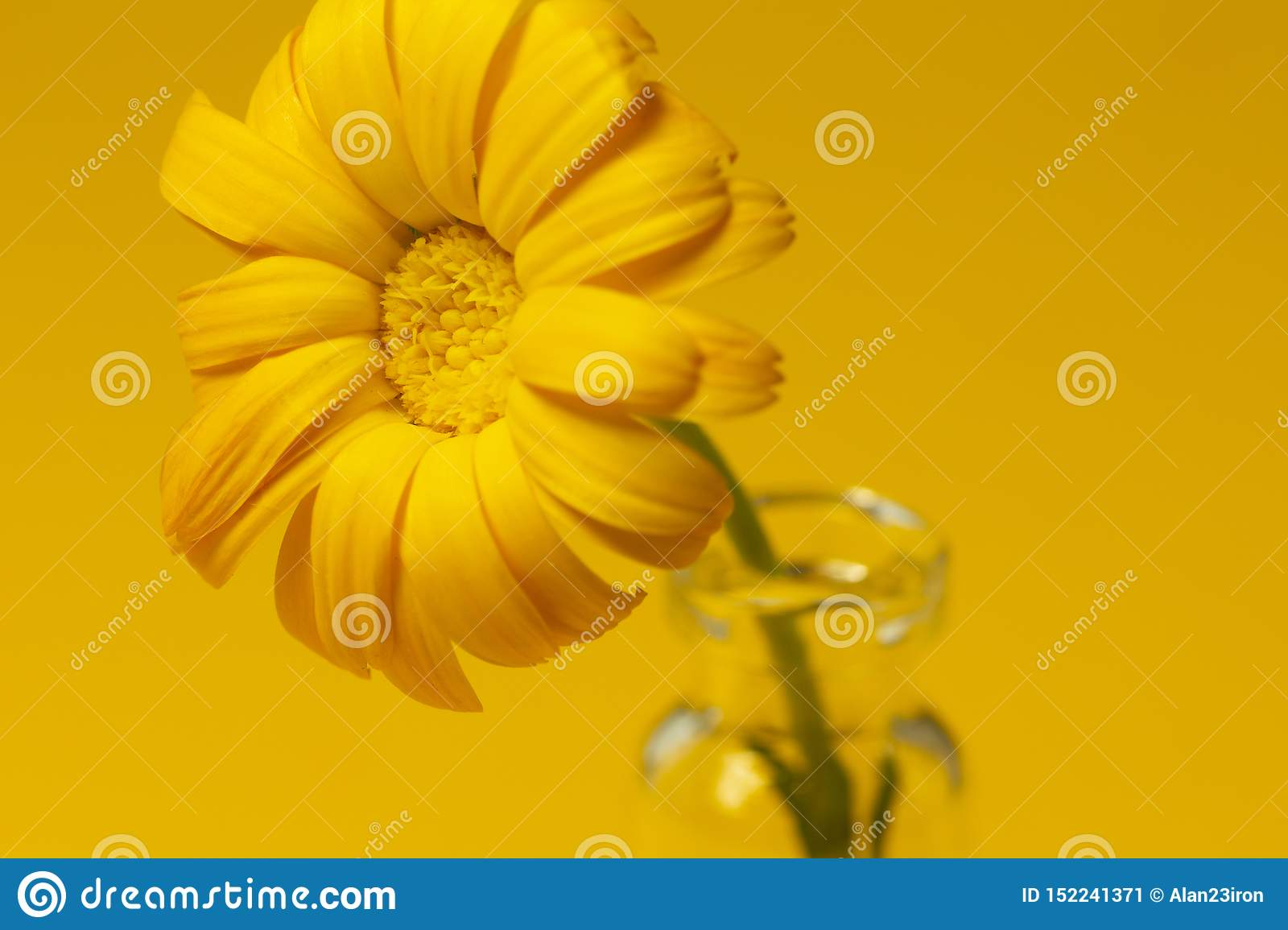 Beautiful calendula flower in glass jar on an yellow background . alternative medicine concept. minimalism style