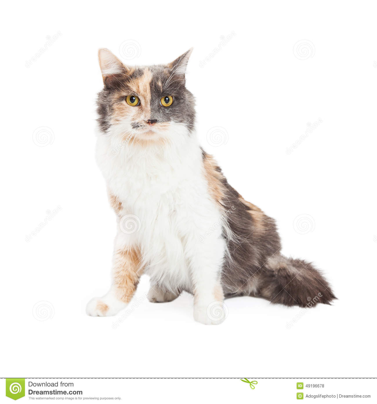 Beautiful Calico Cat Sitting Stock Photo - Image of center, fawn