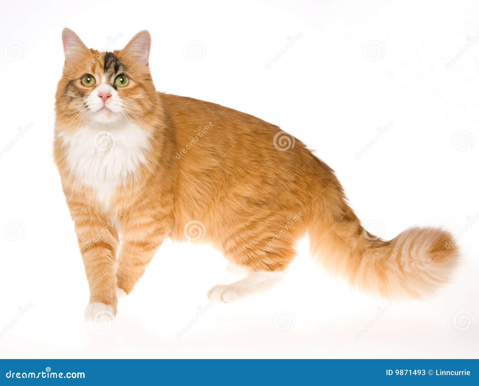 Beautiful Calico Cat On White Background Stock Photos