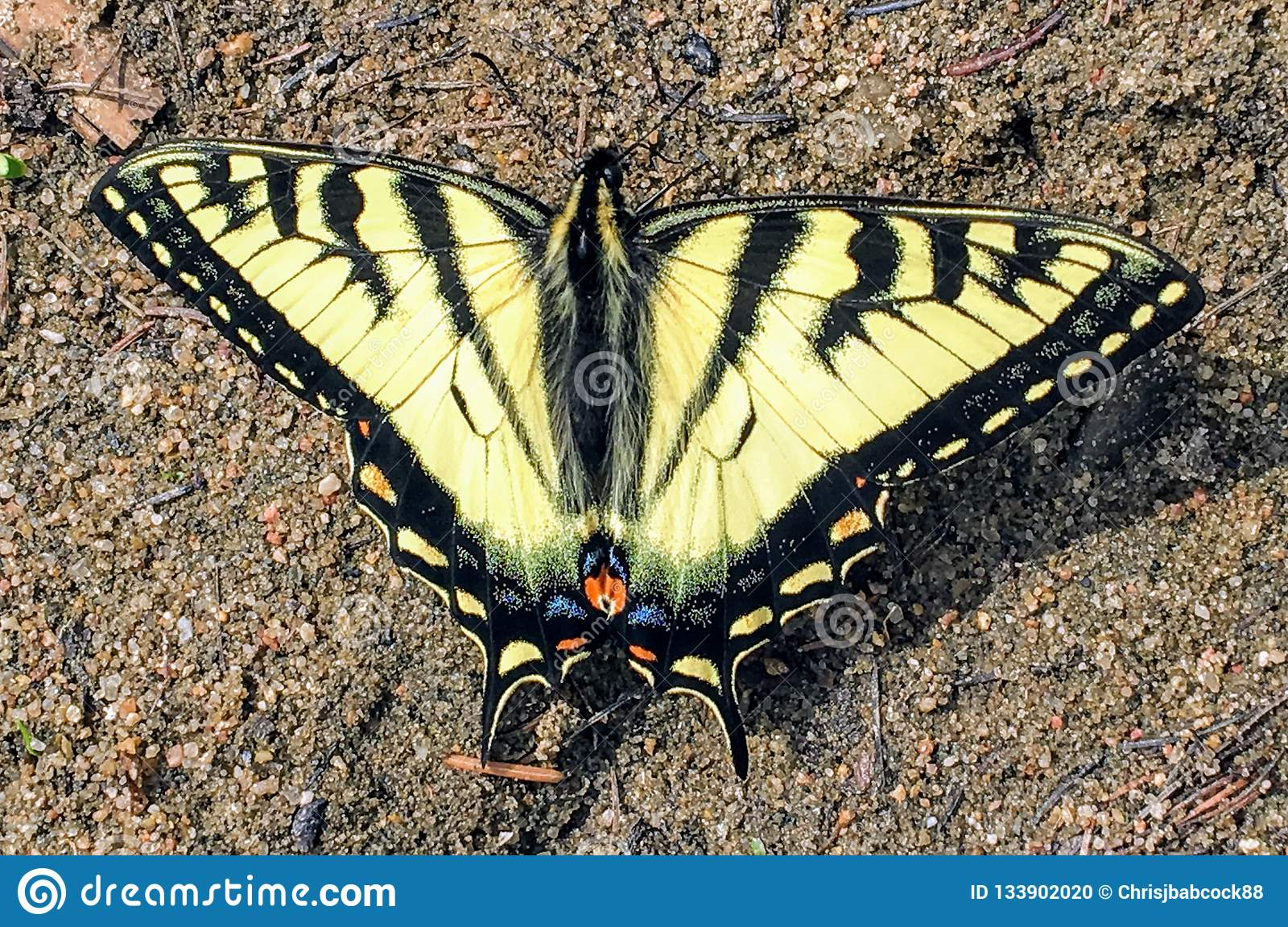 A beautiful Canadian Tiger Swallowtail, seen in Northern Alberta, Canada.