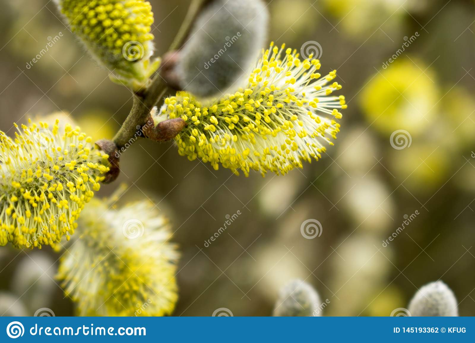 Beautiful Catkins Blossom in Springtime. Easter Time