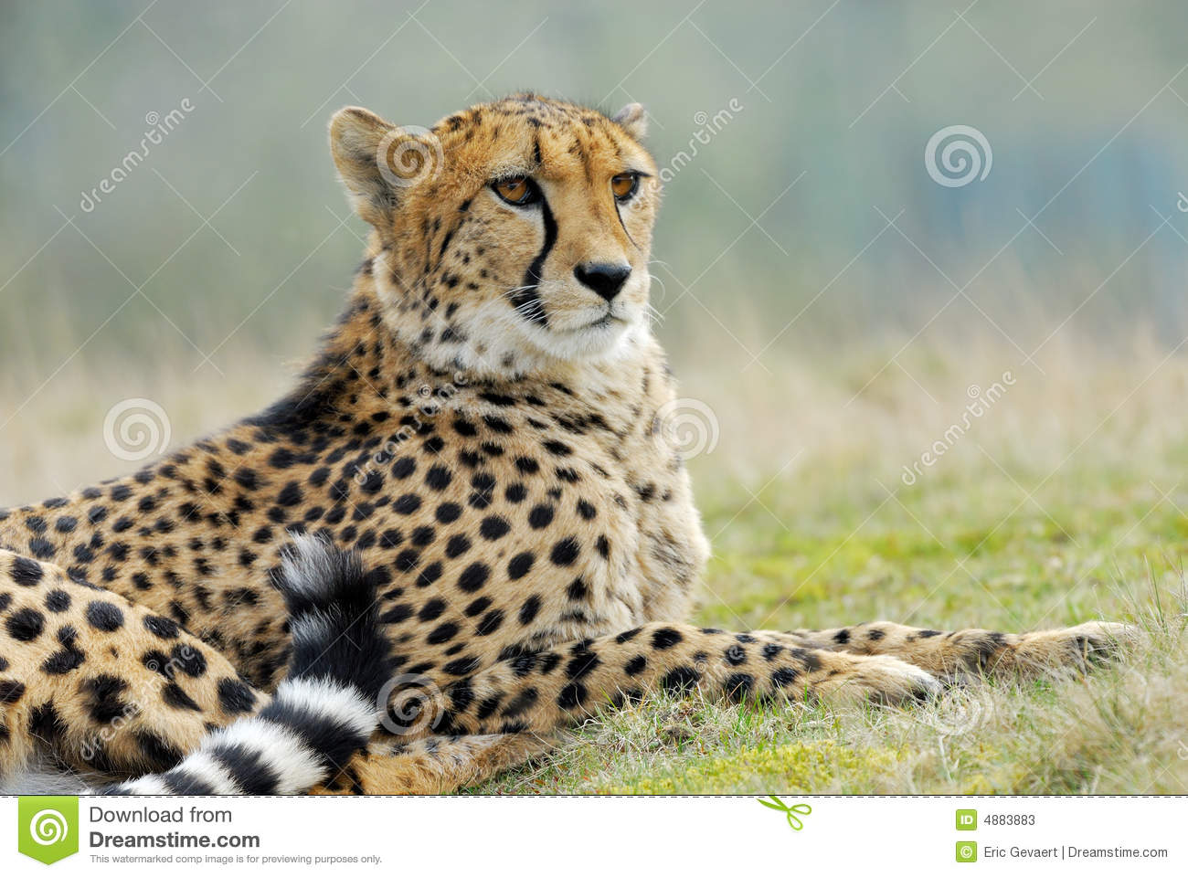 Beautiful Cheetah Stock Image. Image Of Behavior, Observe