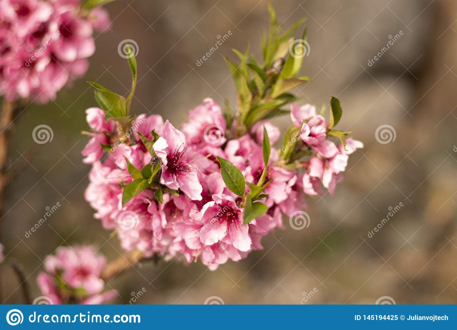 Beautiful Cherry blossom flower in blooming