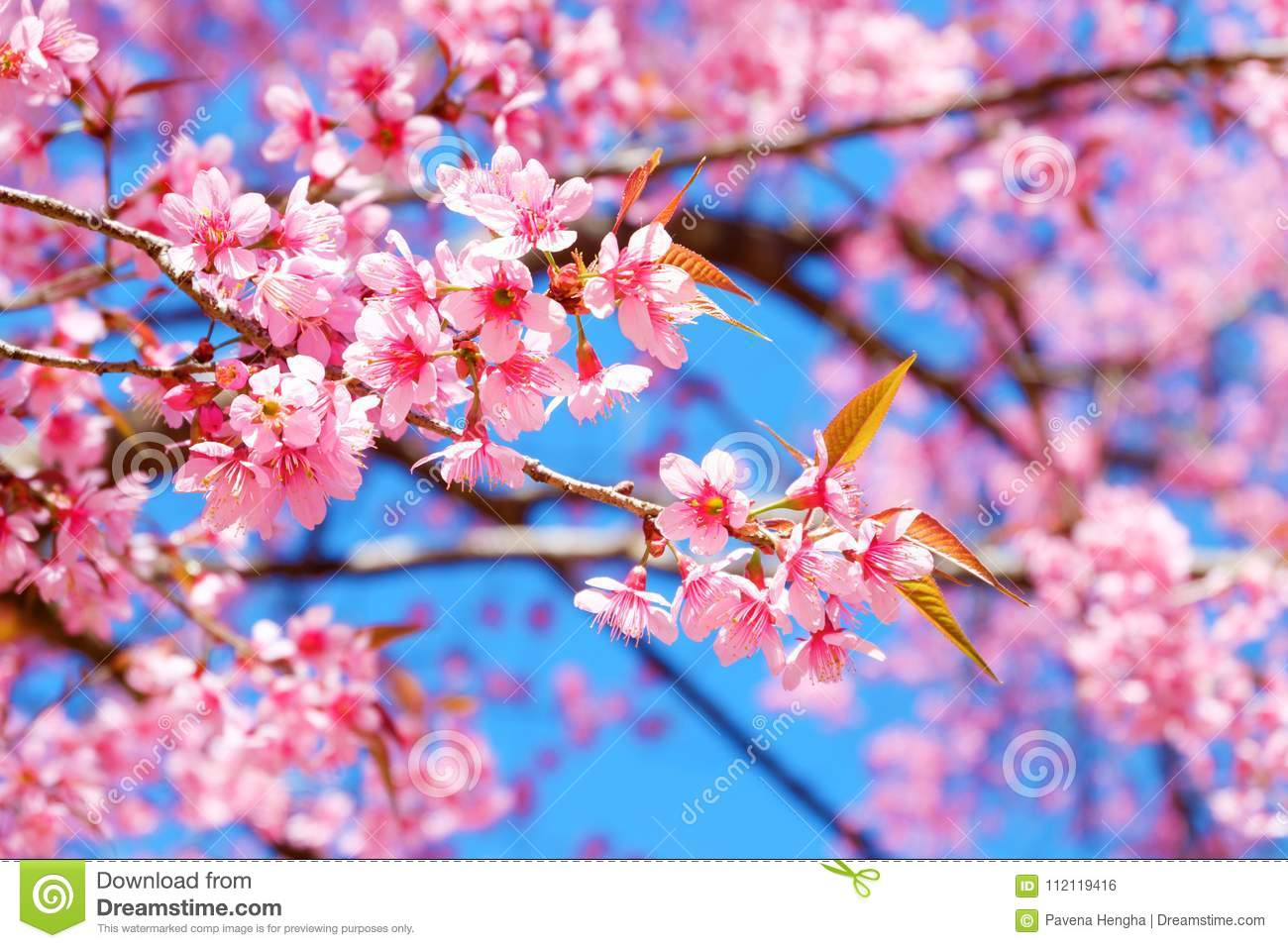 Beautiful cherry blossom pink sakura flower with blue sky in spring beautiful cherry blossom pink sakura flower with blue sky in spring mightylinksfo
