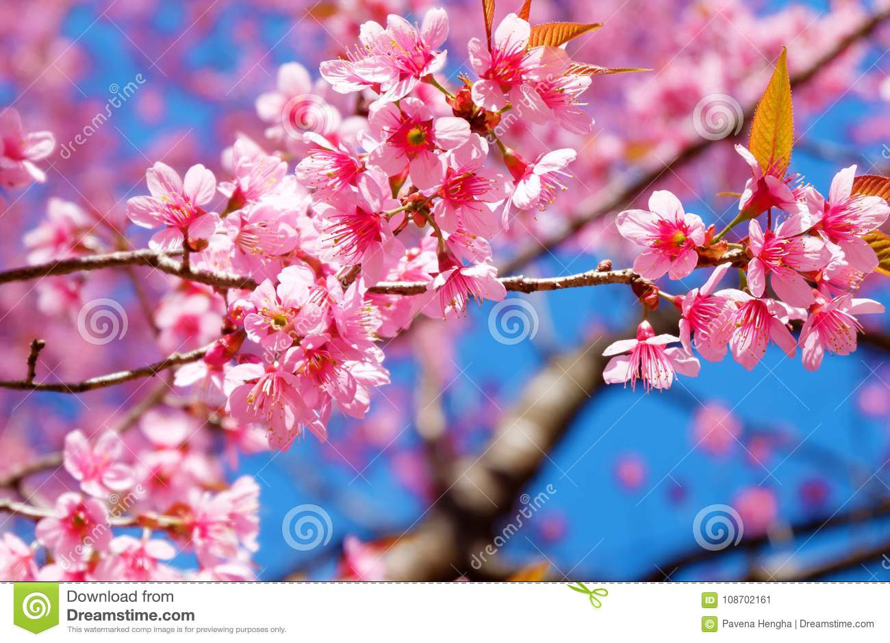 Beautiful cherry blossom pink sakura flower with blue sky in spring download beautiful cherry blossom pink sakura flower with blue sky in spring stock image mightylinksfo