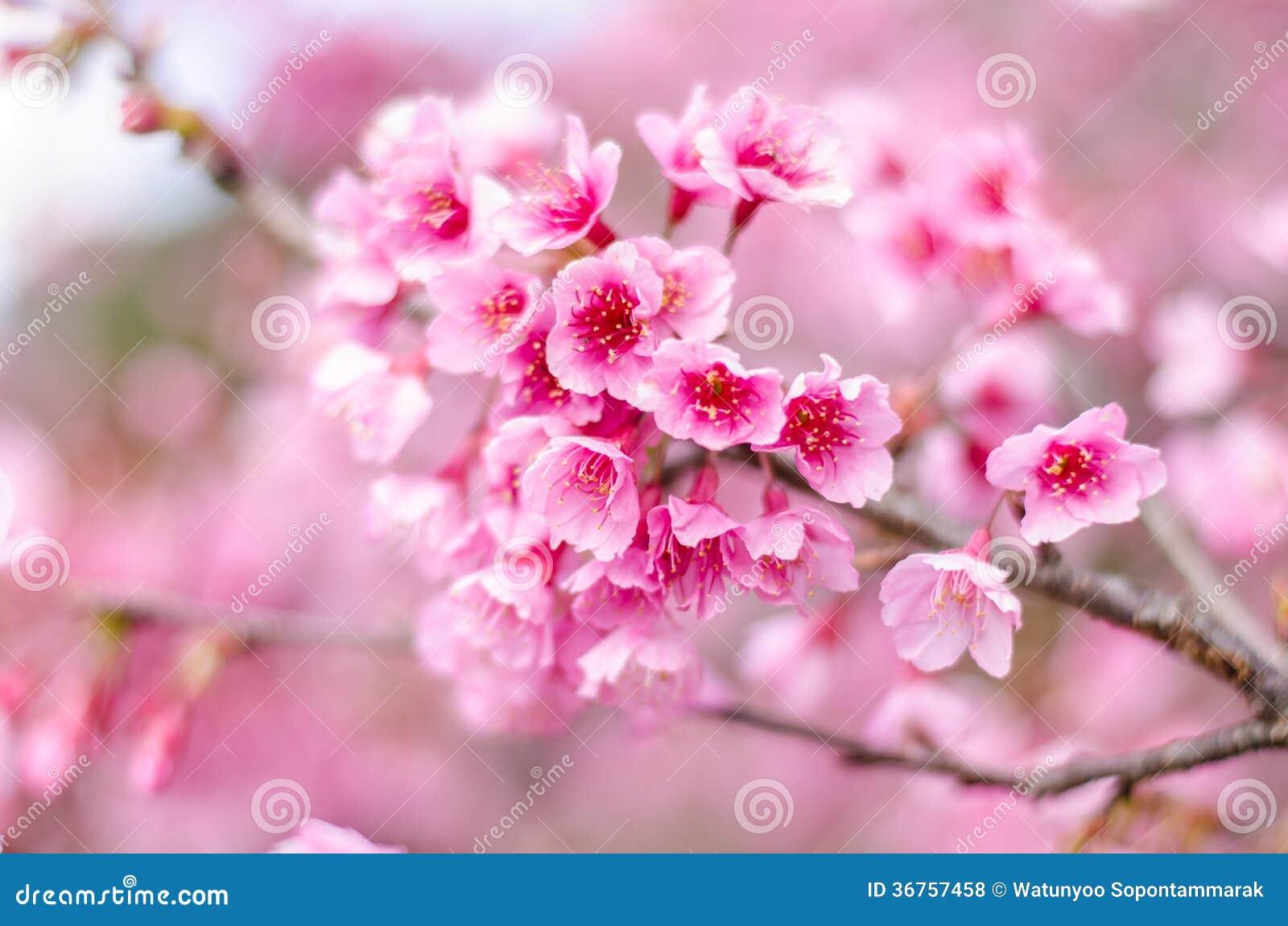 Pink Flower Sakura Of Thailand Stock Photo Image Of Petal