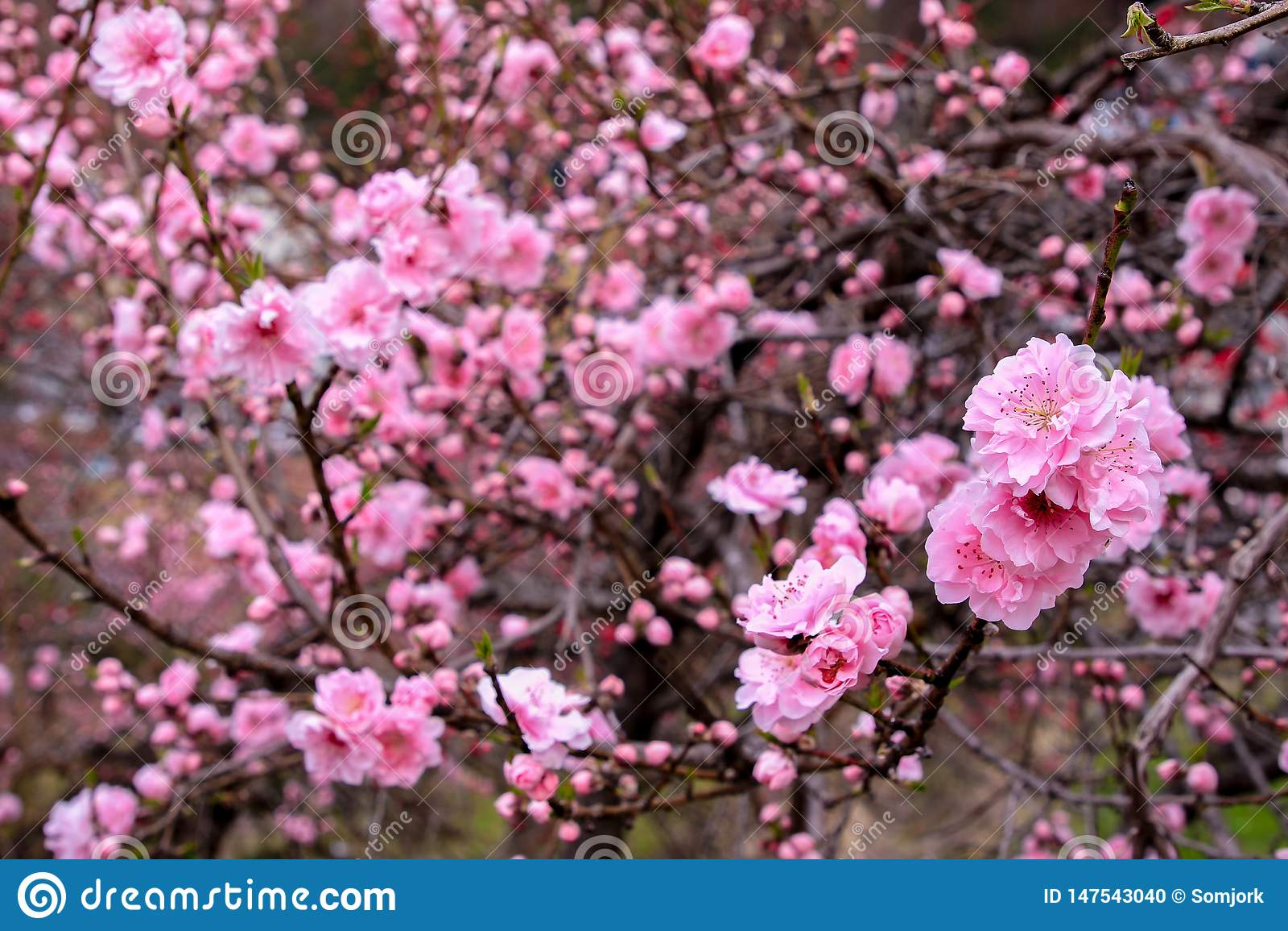 Beautiful Cherry Blossoms Sakura Flowers In Japan Stock Photo