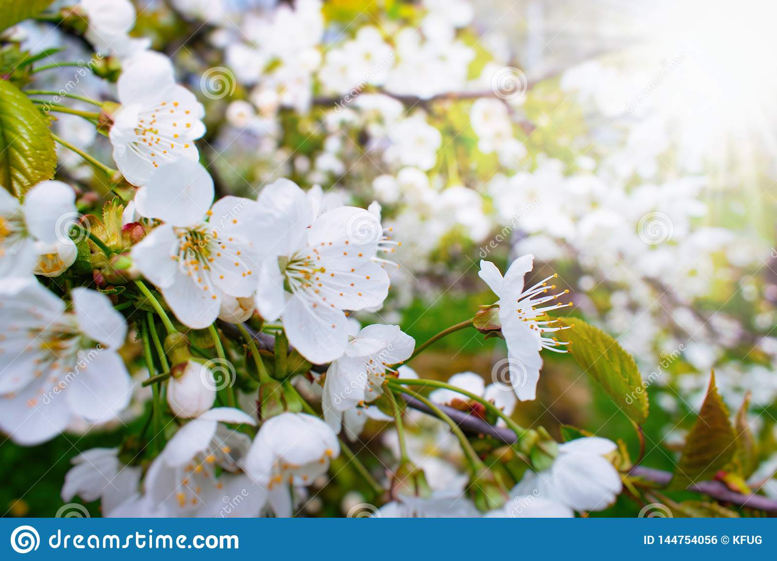 Beautiful Cherry Tree Blossoms in the Sun