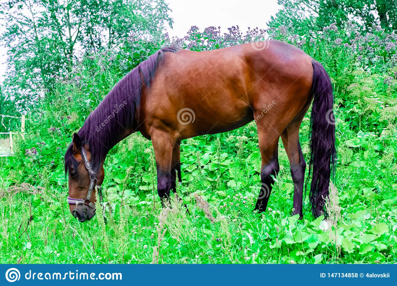 Beautiful chestnut horse with a black and purple mane grazes on a green pasture