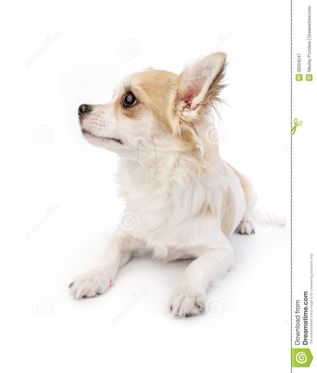 Beautiful Chihuahua Dog