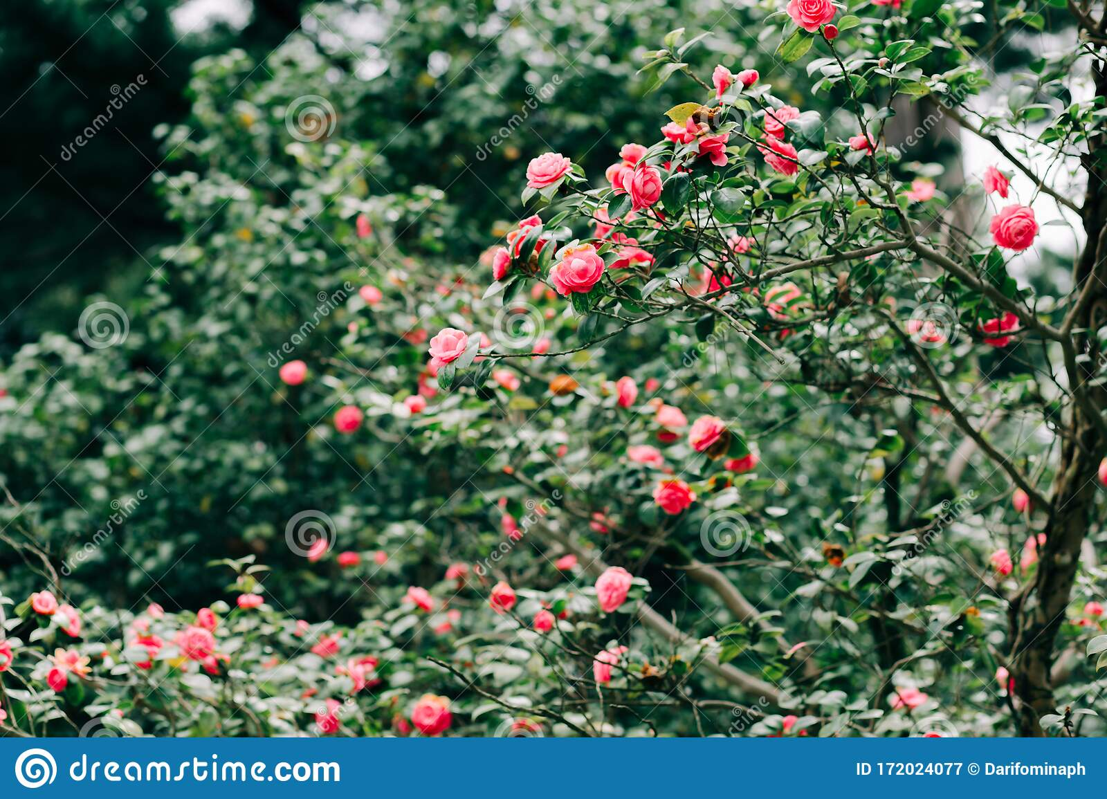 Beautiful Chinese Rose Flowers On The Branches Of Shrubs In The