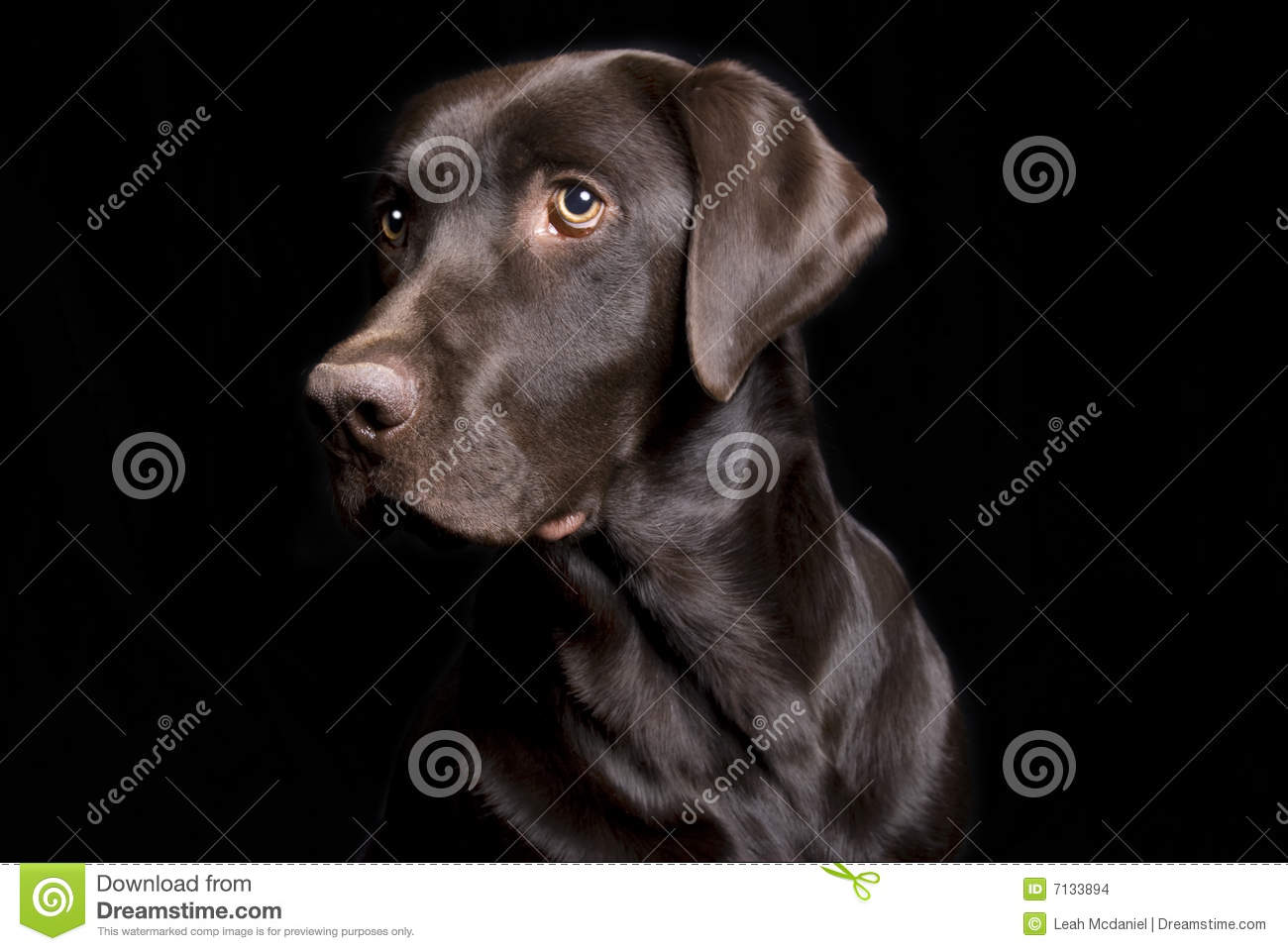 Beautiful Chocolate Lab On Black Stock Photo Image Of Intelligent