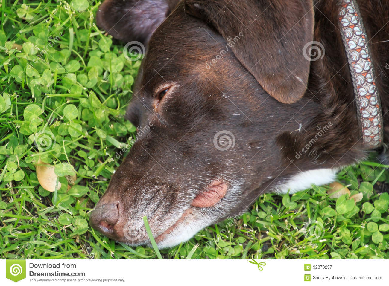 Beautiful Chocolate Labrador Retriever Relaxing In Fresh Spring