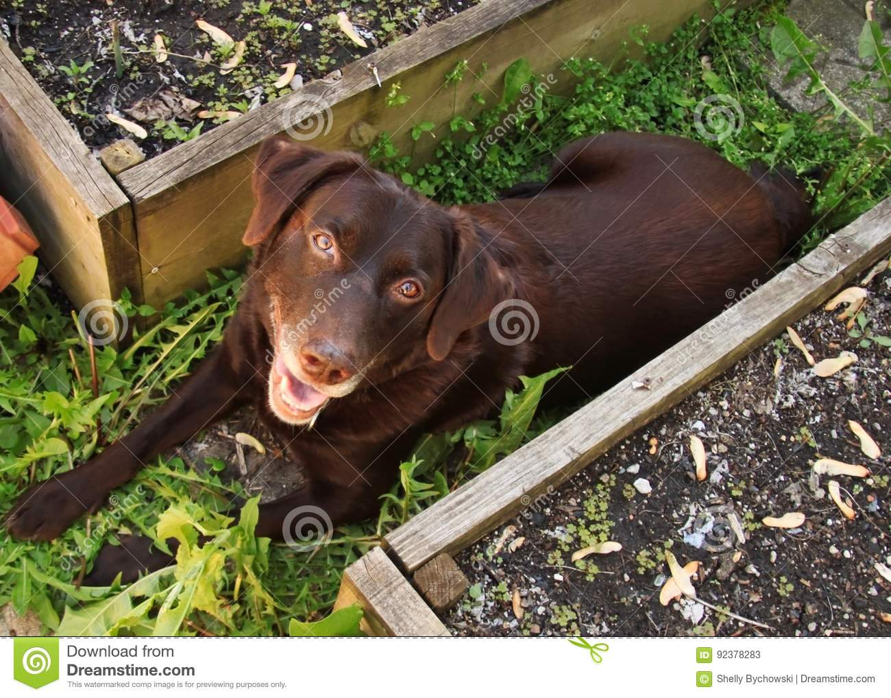 Beautiful Chocolate Labrador Retriever Relaxing In Garden Amongst
