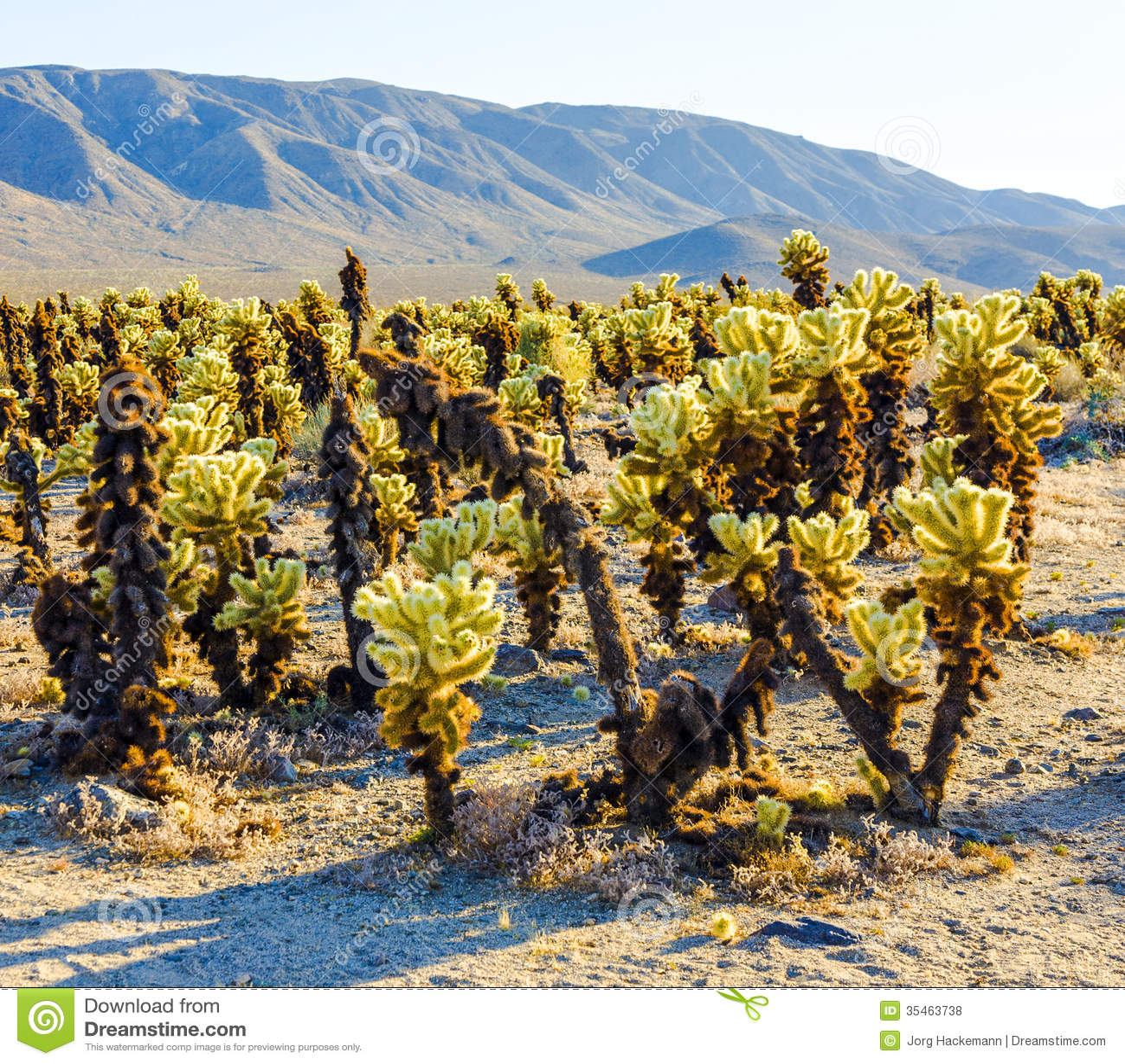 Beautiful Cholla Cactus Garden In Joshua Tree National Park Stock Photo Image 35463738