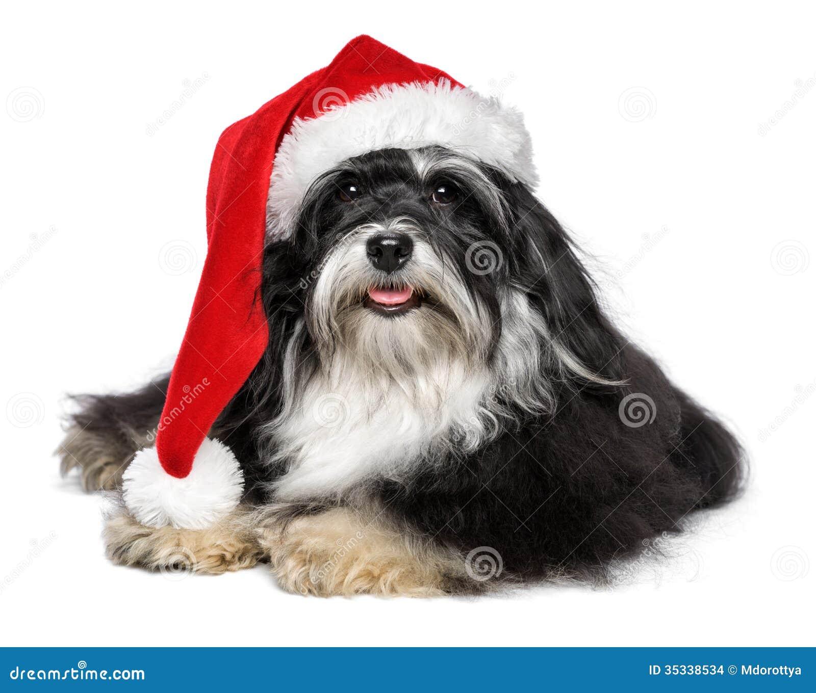 97b7a87a1b1c1 Beautiful Christmas Havanese Dog With Santa Hat And White Beard ...